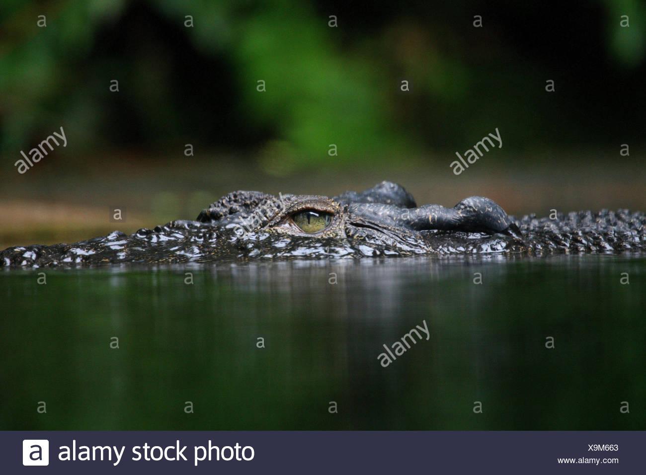 Sunda-Gavial, water, - Stock Image