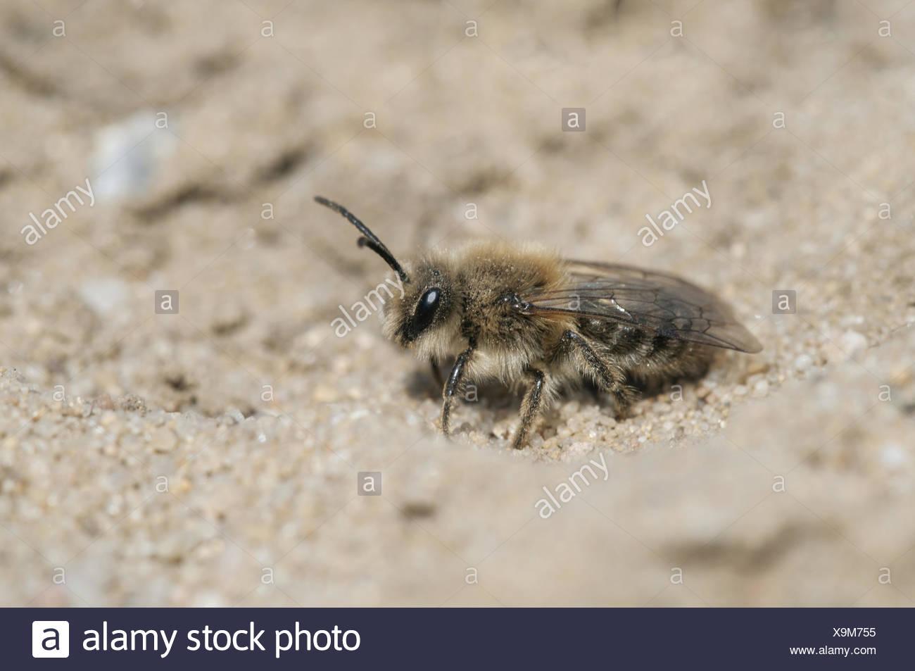 Bee (Andrena flavipes) - Stock Image