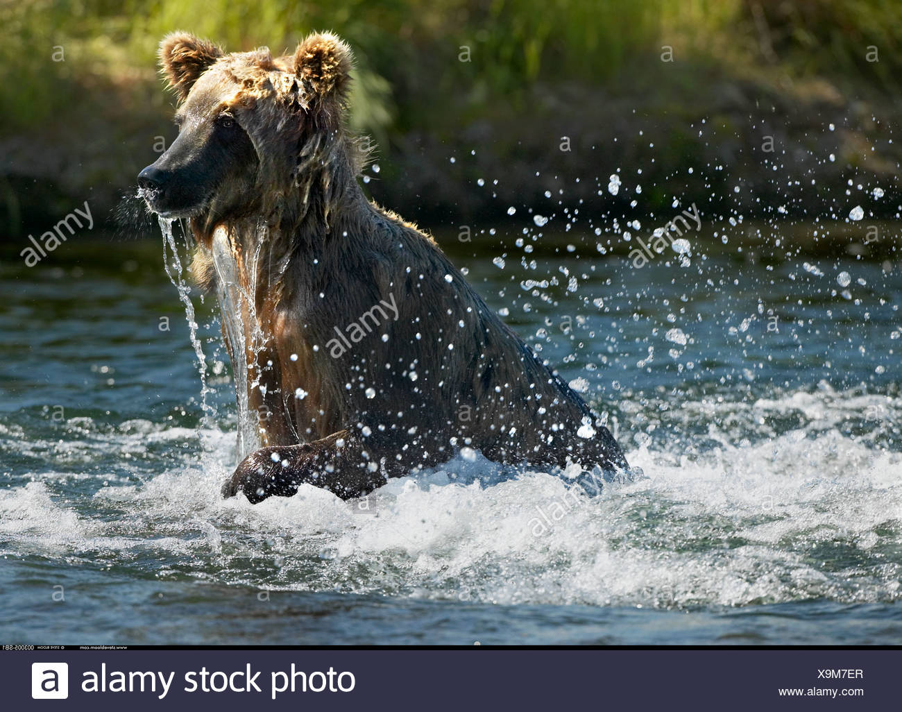 Brown Bear fishing Katmai National Park Alaska - Stock Image
