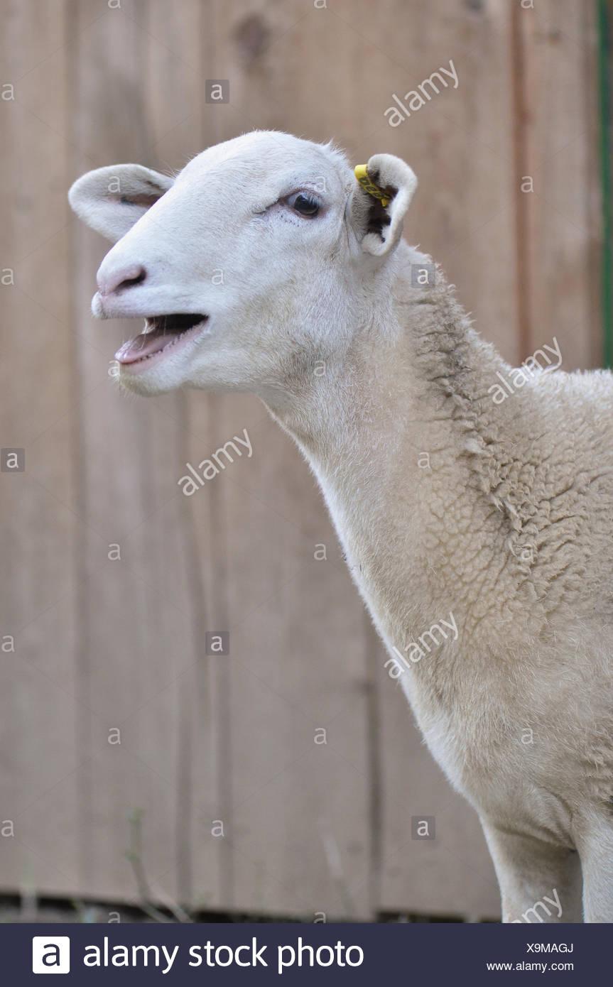 Bleating Sheep - Stock Image