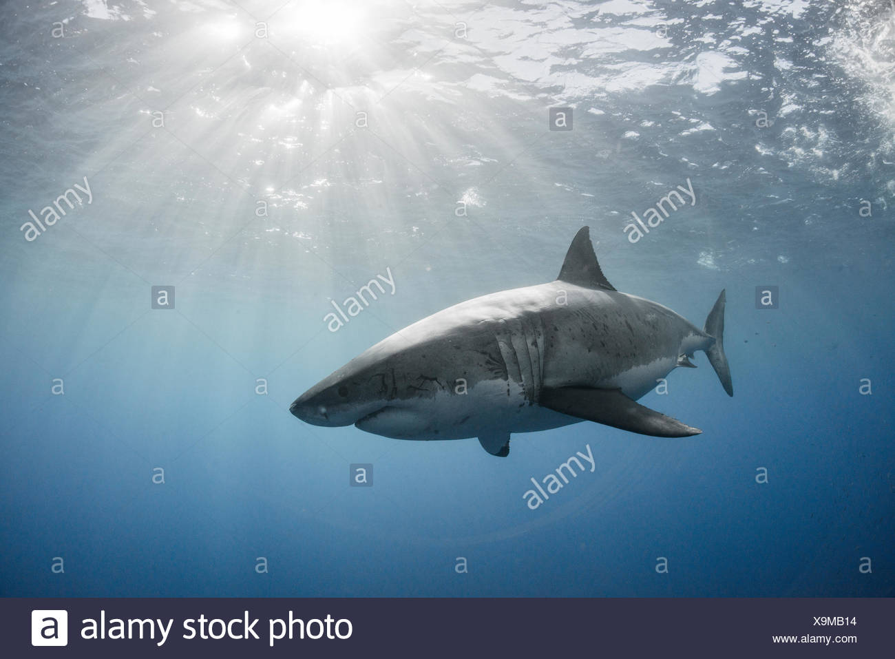 White shark cruising around the crystal blue water of Guadalupe Island, Mexico - Stock Image