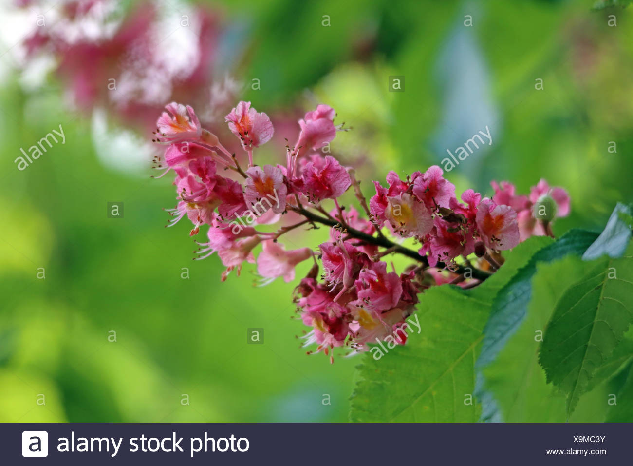 red flowering buckeye Stock Photo