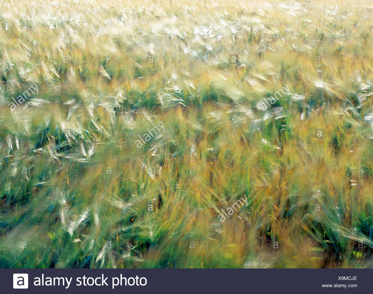 Agriculture Bend Blowy Blowing Breeze Breezy Color Colour Corn Corn field Country Countryside Crop Daytim - Stock Image