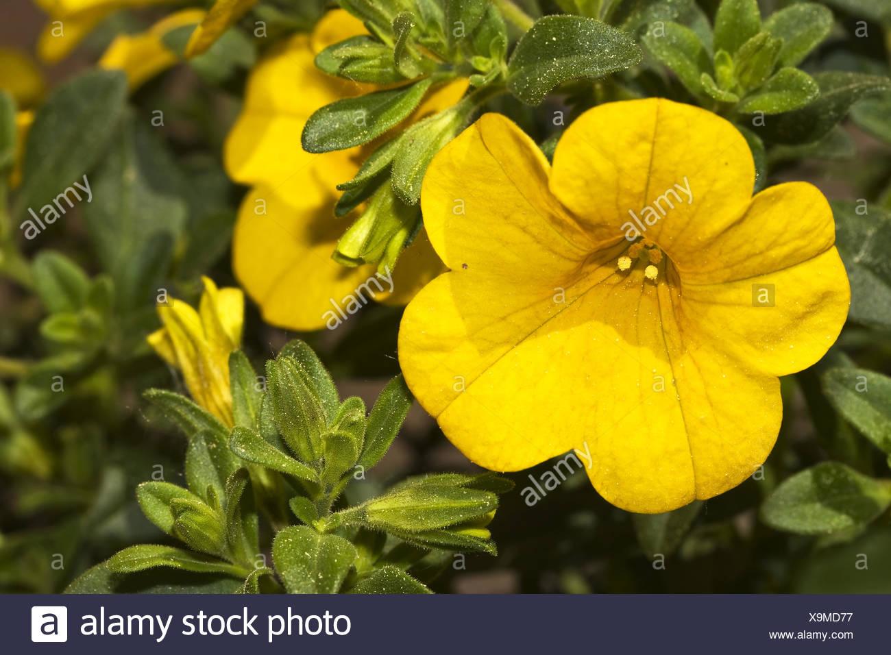 Petunia  Callibrachoa Million Bells - Stock Image