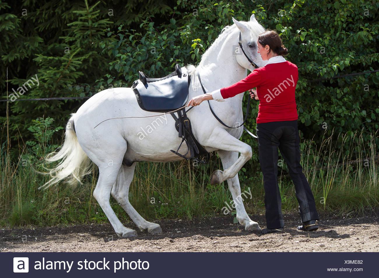 German Riding Pony Claudia Strau§ doing ground work training gray horse - Stock Image