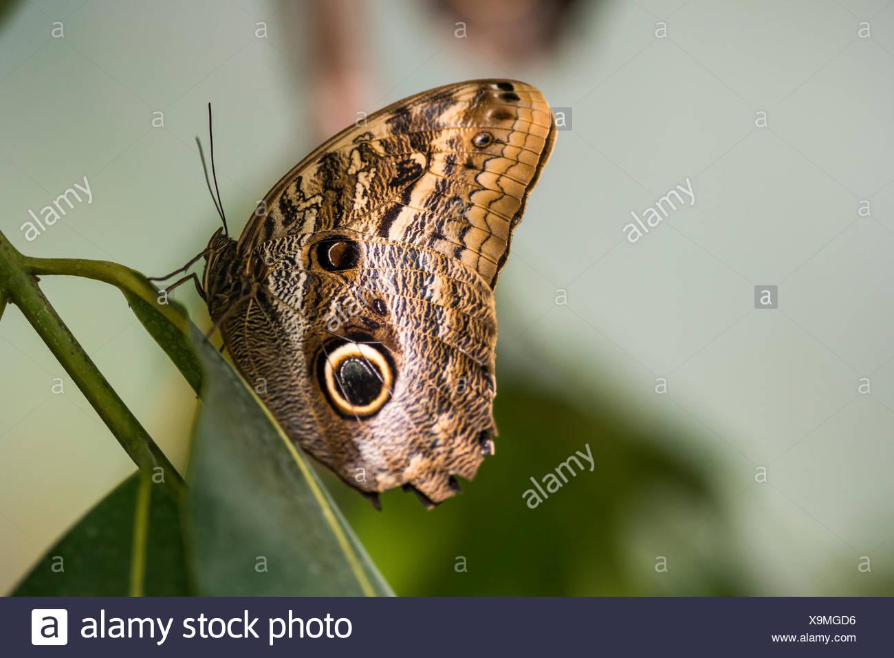 Forest Giant Owl Butterfly (Caligo eurilochus), Mauazinho, Manaus, Amazonas State, Brazil - Stock Image
