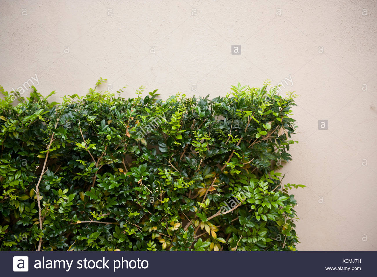 The corner of a trimmed shrub. - Stock Image