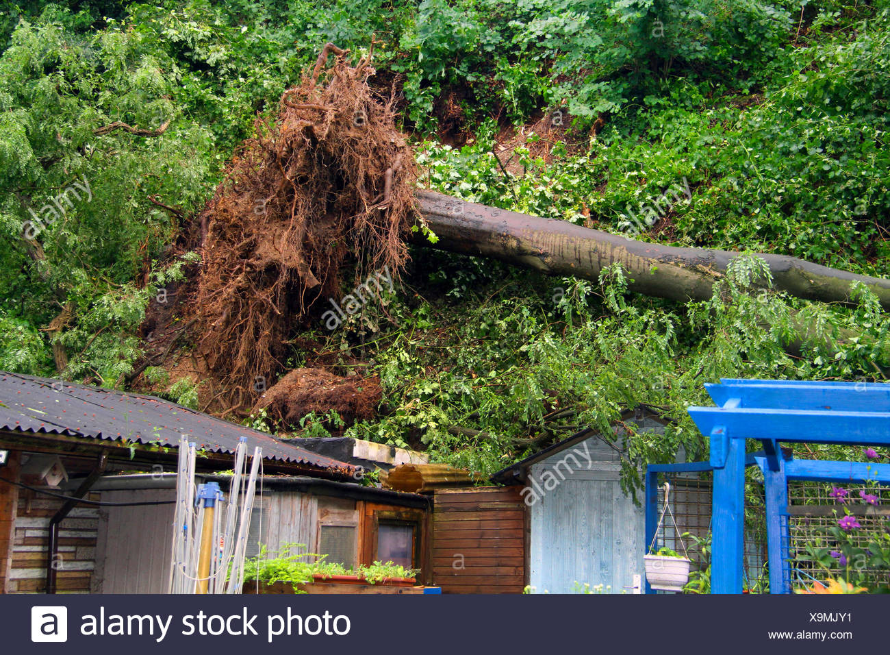 fallen trunk of an sycamore maple demolishing garden huts, storm front Ela at 2014-06-09, Germany, North Rhine-Westphalia, Ruhr Area, Essen - Stock Image