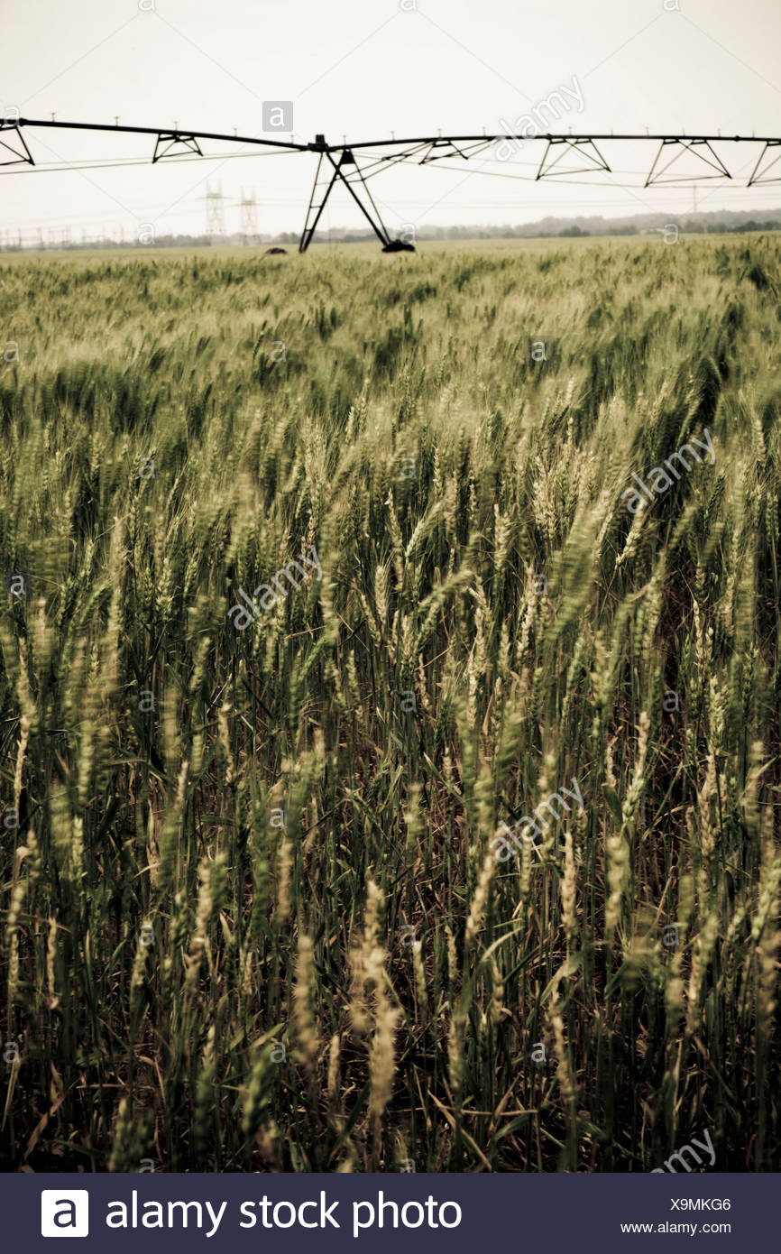 Overall shot of a crop field with irrigation systems in the backgrounds - Stock Image