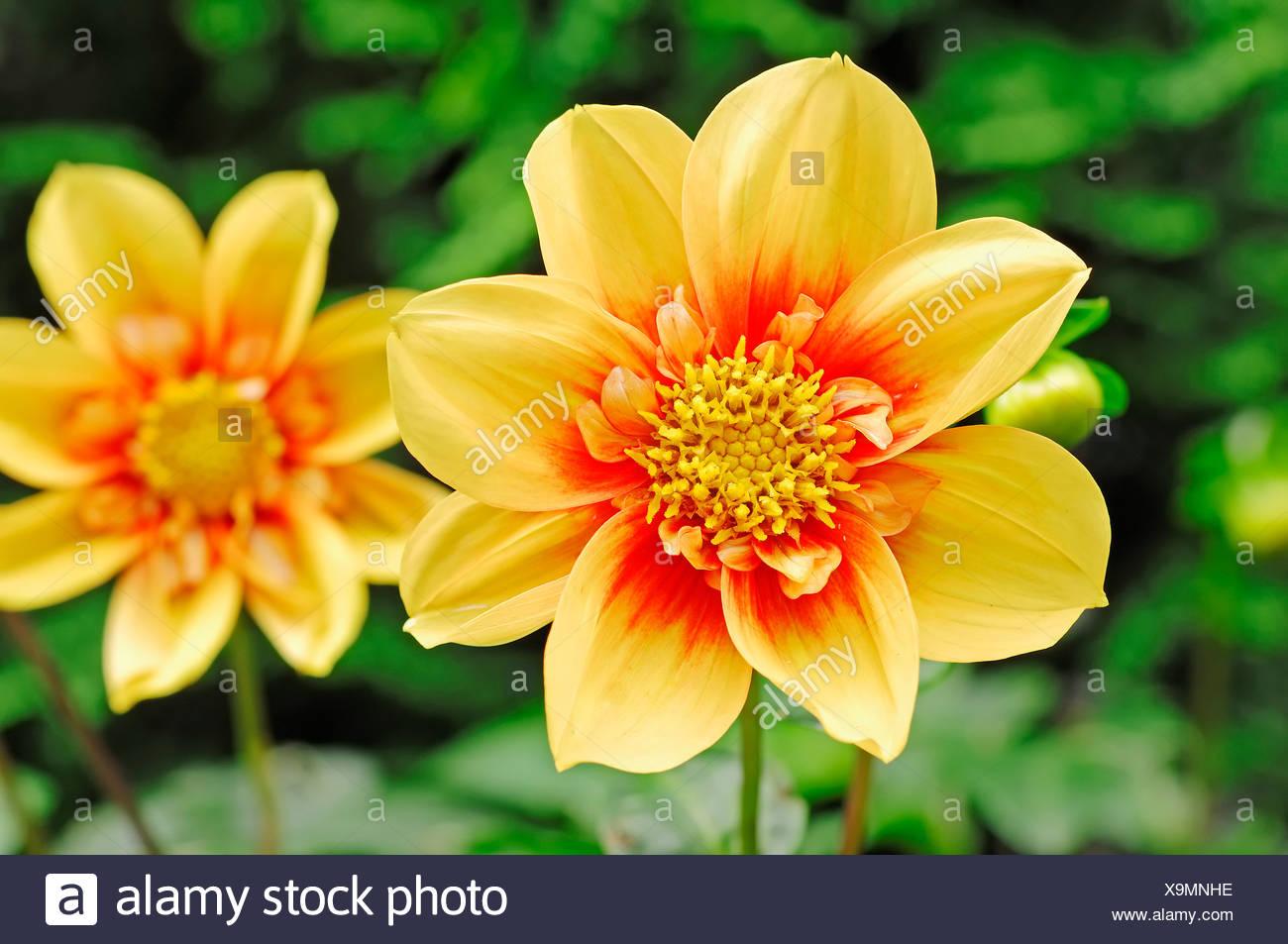 Varieties of dahlia blooms stock photos varieties of dahlia blooms dahlia dahlia sp flowers stock image izmirmasajfo