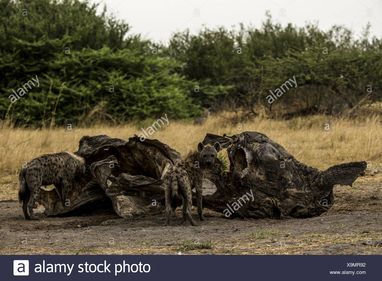 Spotted Hyena, Crocuta crocuta, eat from a old and dry elephant, Loxodonta africana, carcass. - Stock Image