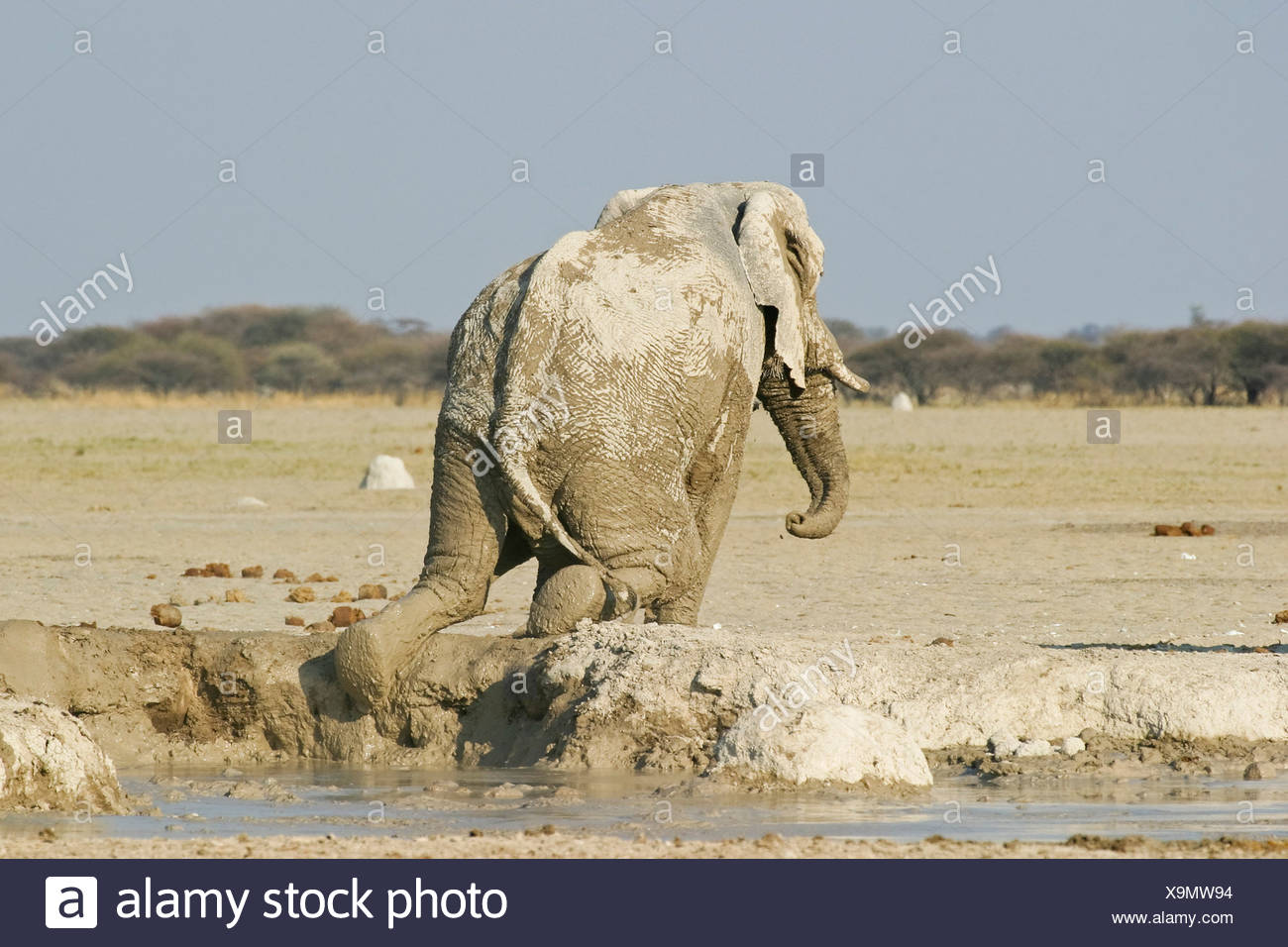 African Elephant (Loxodonta africana) after a mud bath, Nxai Pan, Makgadikgadi Pans National Park, Botswana, Africa Stock Photo