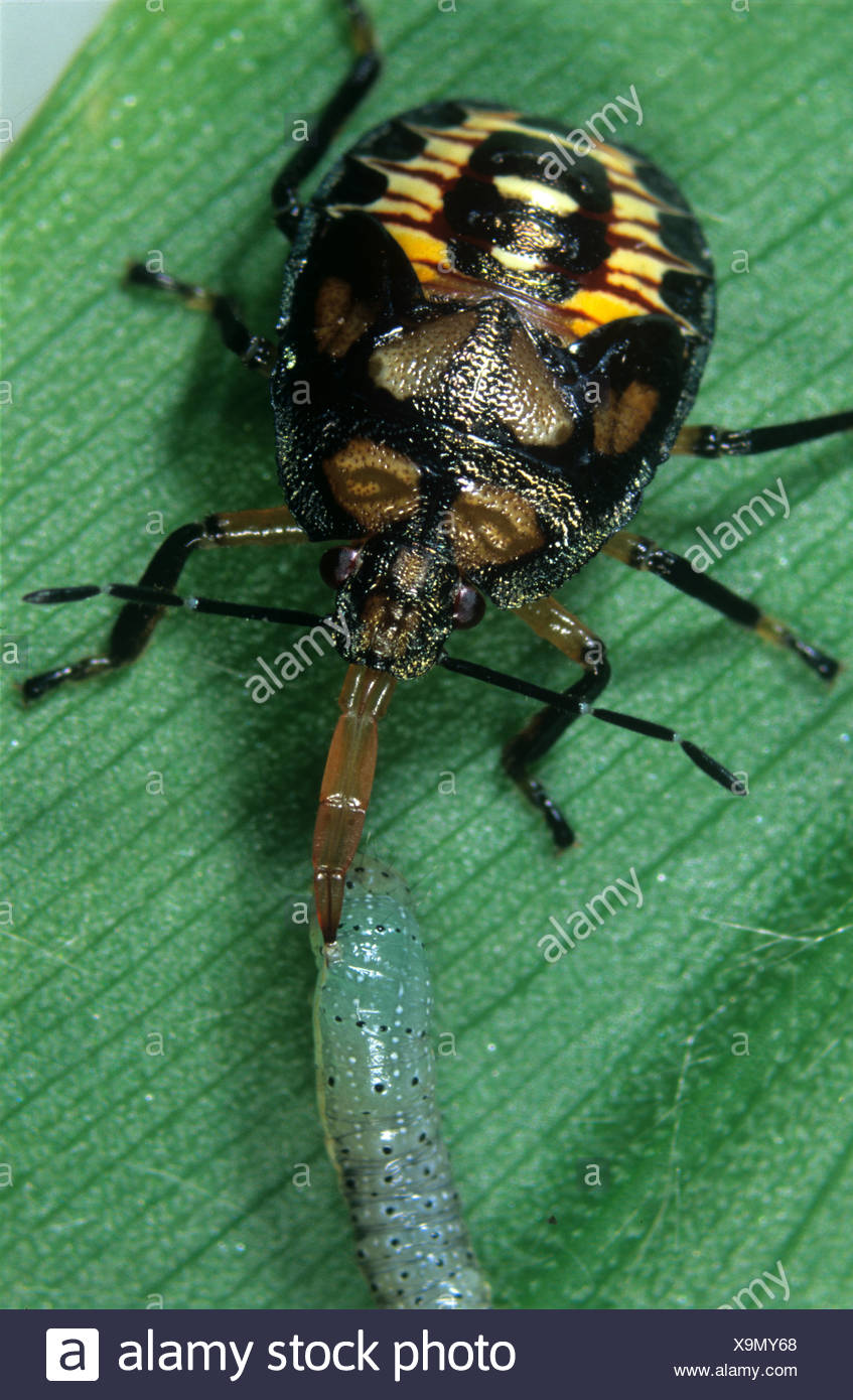 Predatory stink bug or spined soldier beetle Podisus maculiventris feeding on a caterpillar - Stock Image