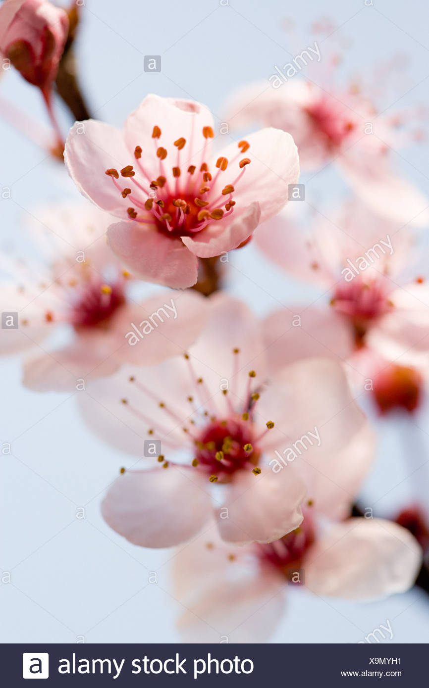 Hawthorn blossom Stock Photo