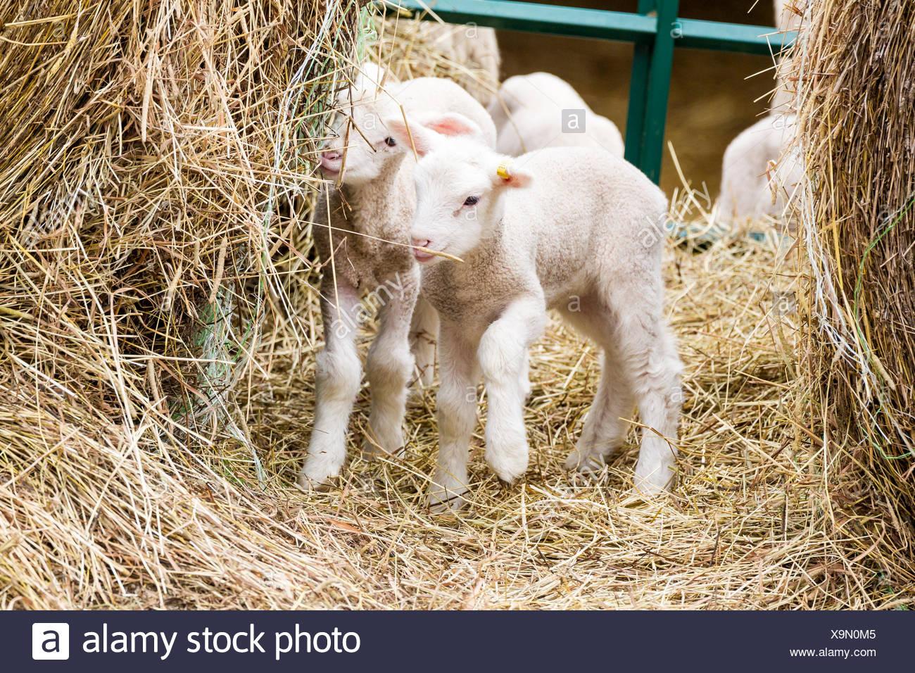 Lambs in Prince Edward County, Ontario, Canada - Stock Image