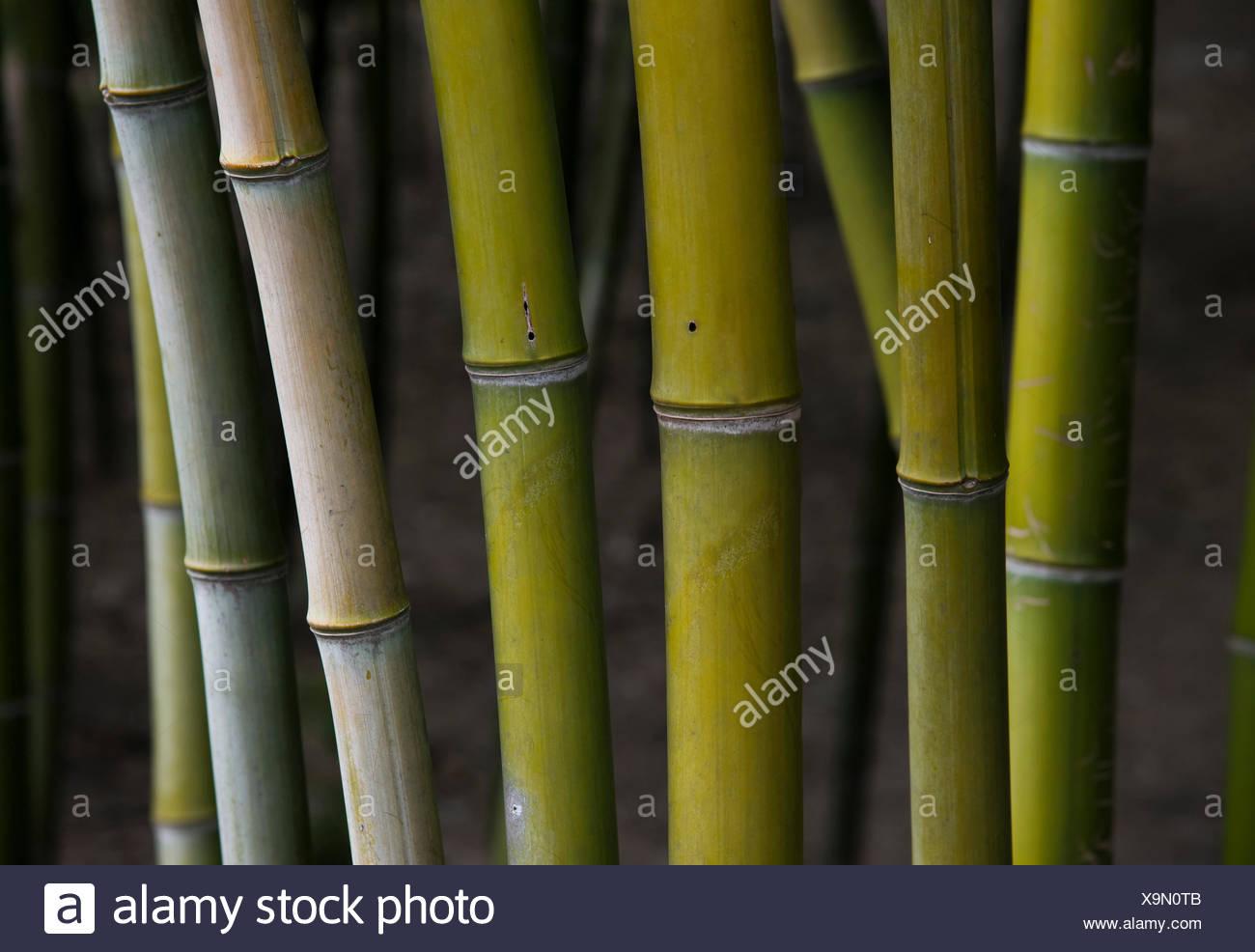 Bamboo stems, bamboo forest, Wuzhen, China - Stock Image