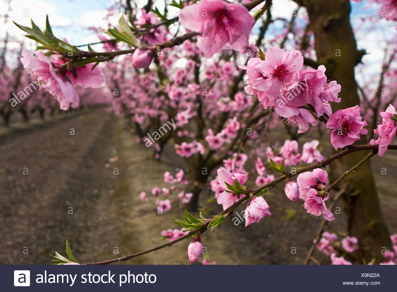 Agriculture - Closeup of peach blossoms at the full bloom stage with the orchard in the background / California, USA. - Stock Image