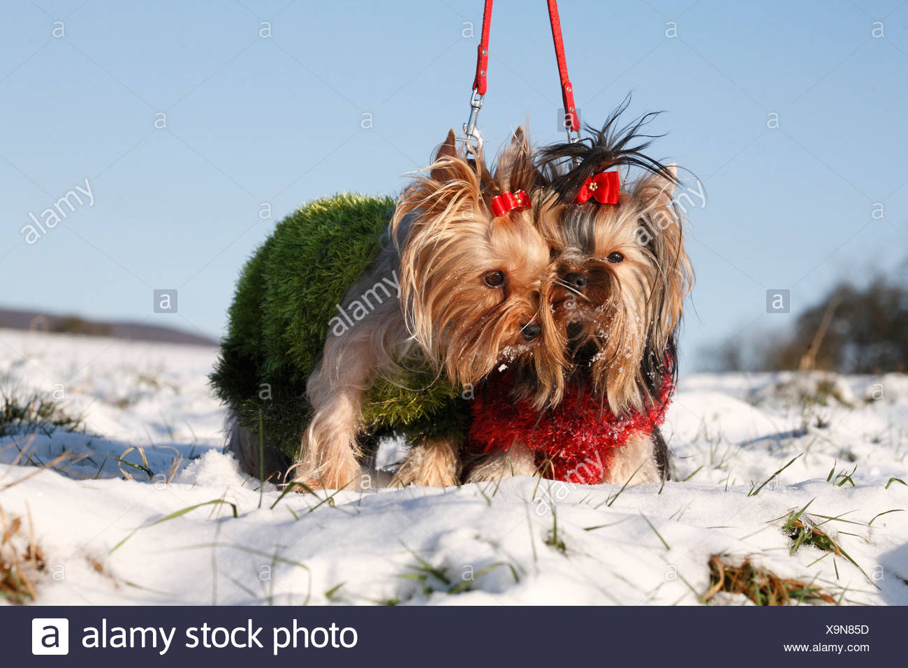 Yorkshire Terrier (Canis lupus f. familiaris), two leashed dogs standing in a snow-covered meadow with with knitted pullovers a Stock Photo