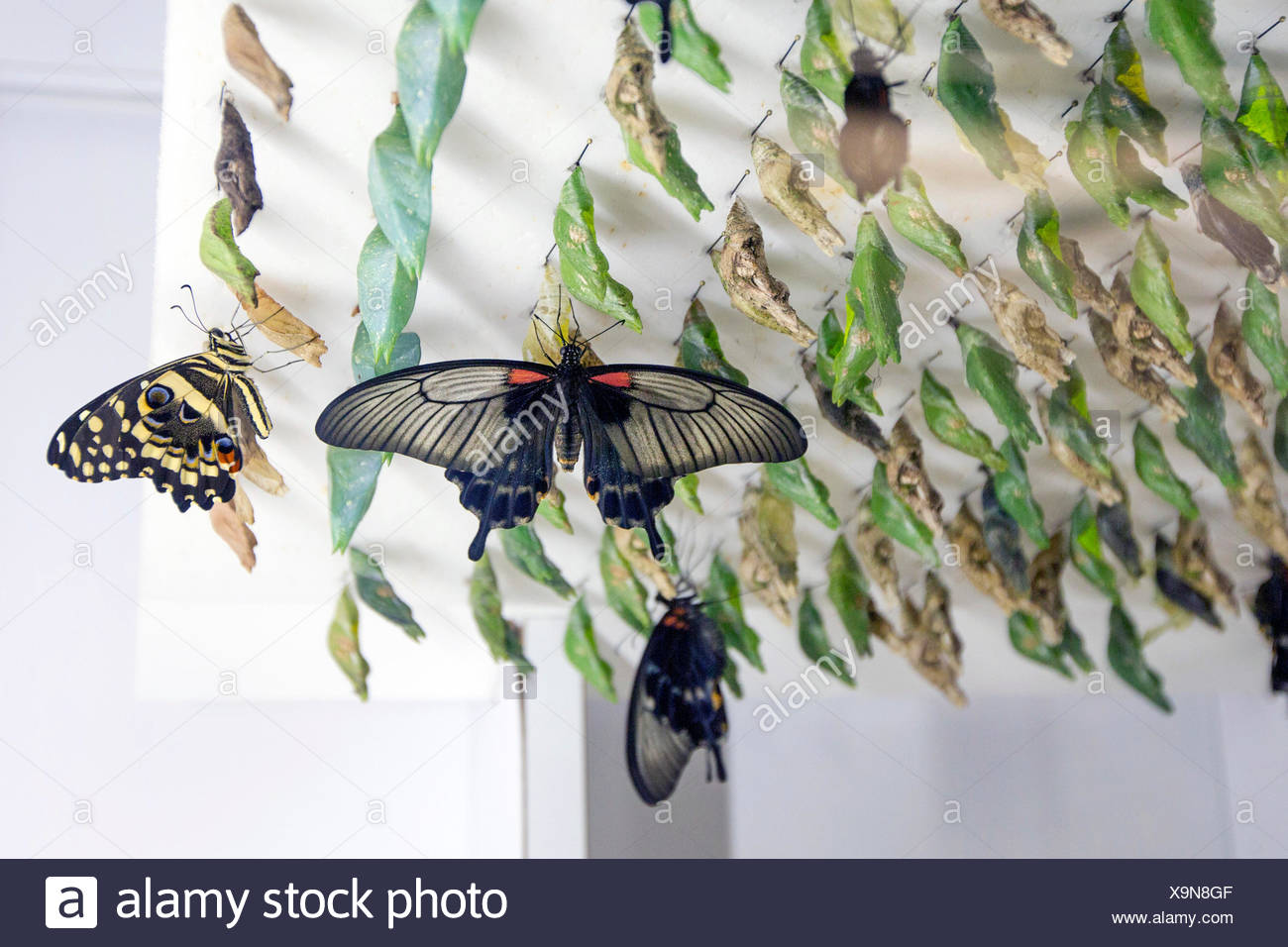 Great Mormon (Papilio memnon), in a butterfly farm, with pupas in the background - Stock Image
