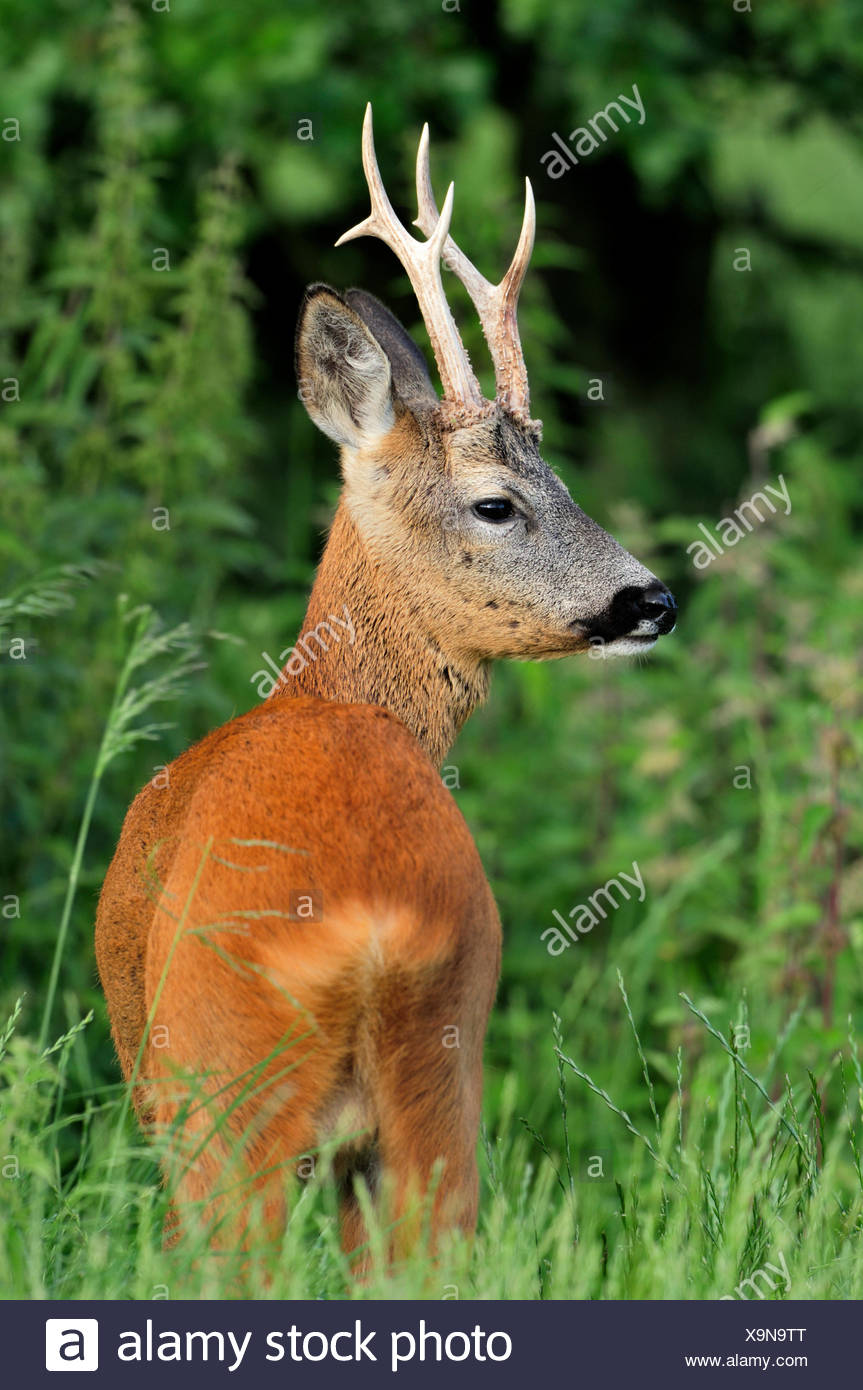Roe Deer - Capreolus capreolus - Stock Image