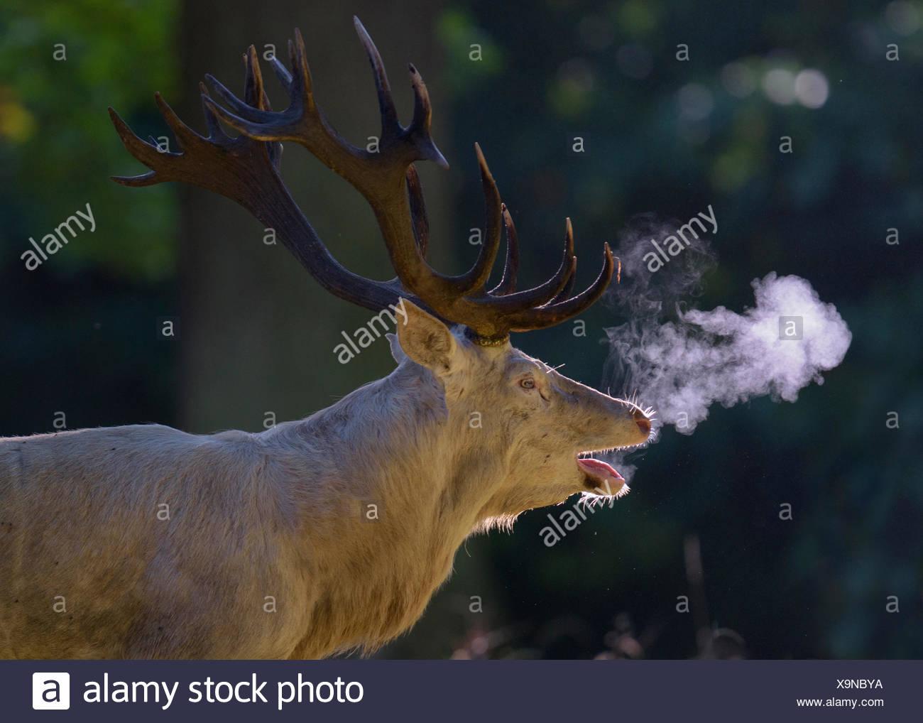 Red deer (Cervus elaphus), rutting stag, white morph, belling, backlit, breath condensation, Zealand, Denmark - Stock Image