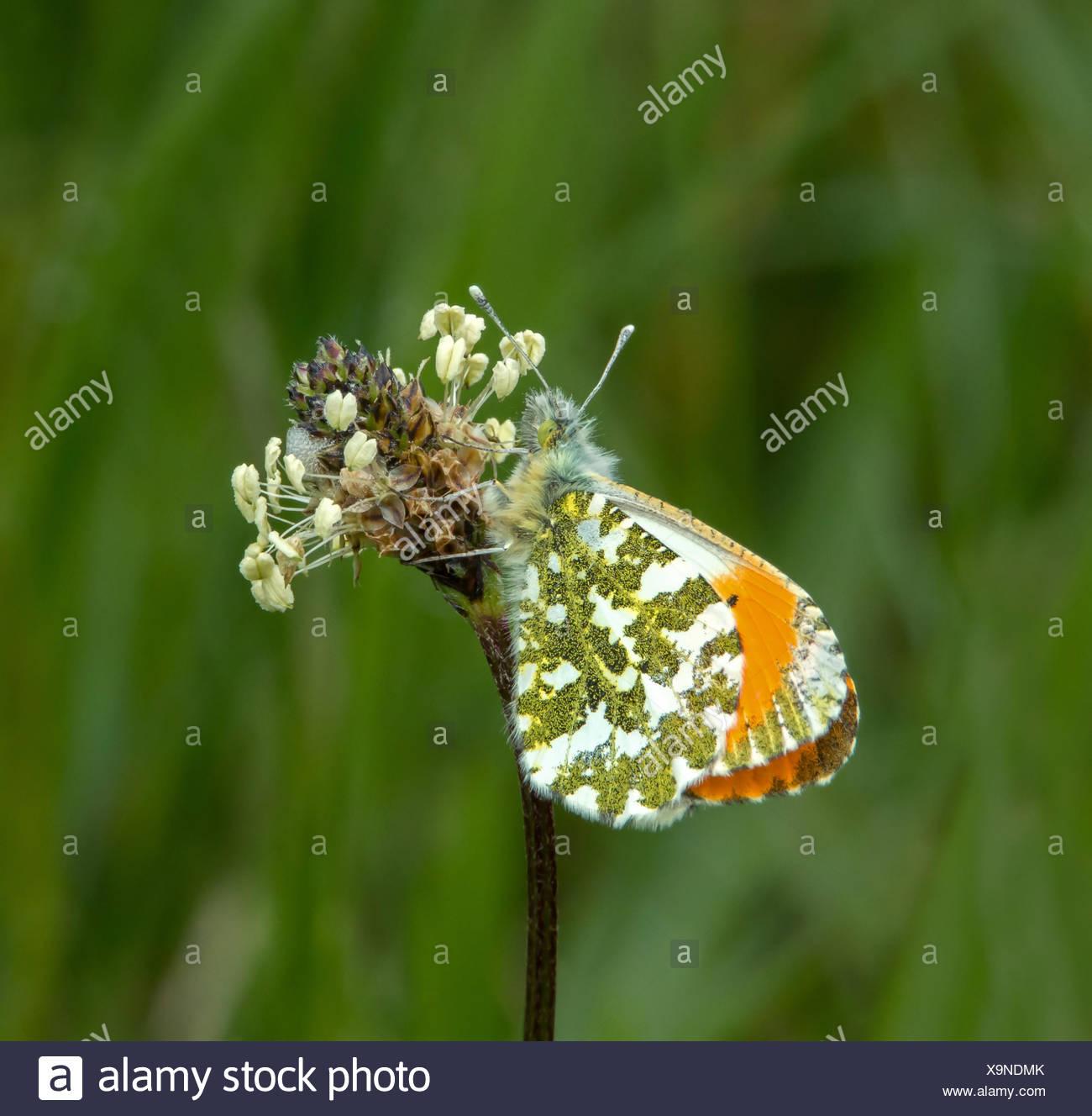 Male Orange-tip Butterfly resting on flower head Stock Photo