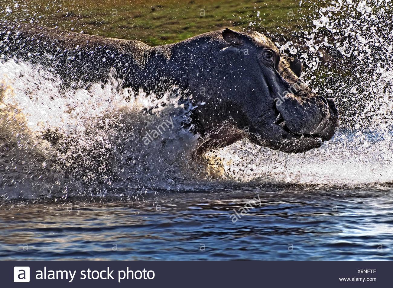 hippo attack Stock Photo: 281371231 - Alamy