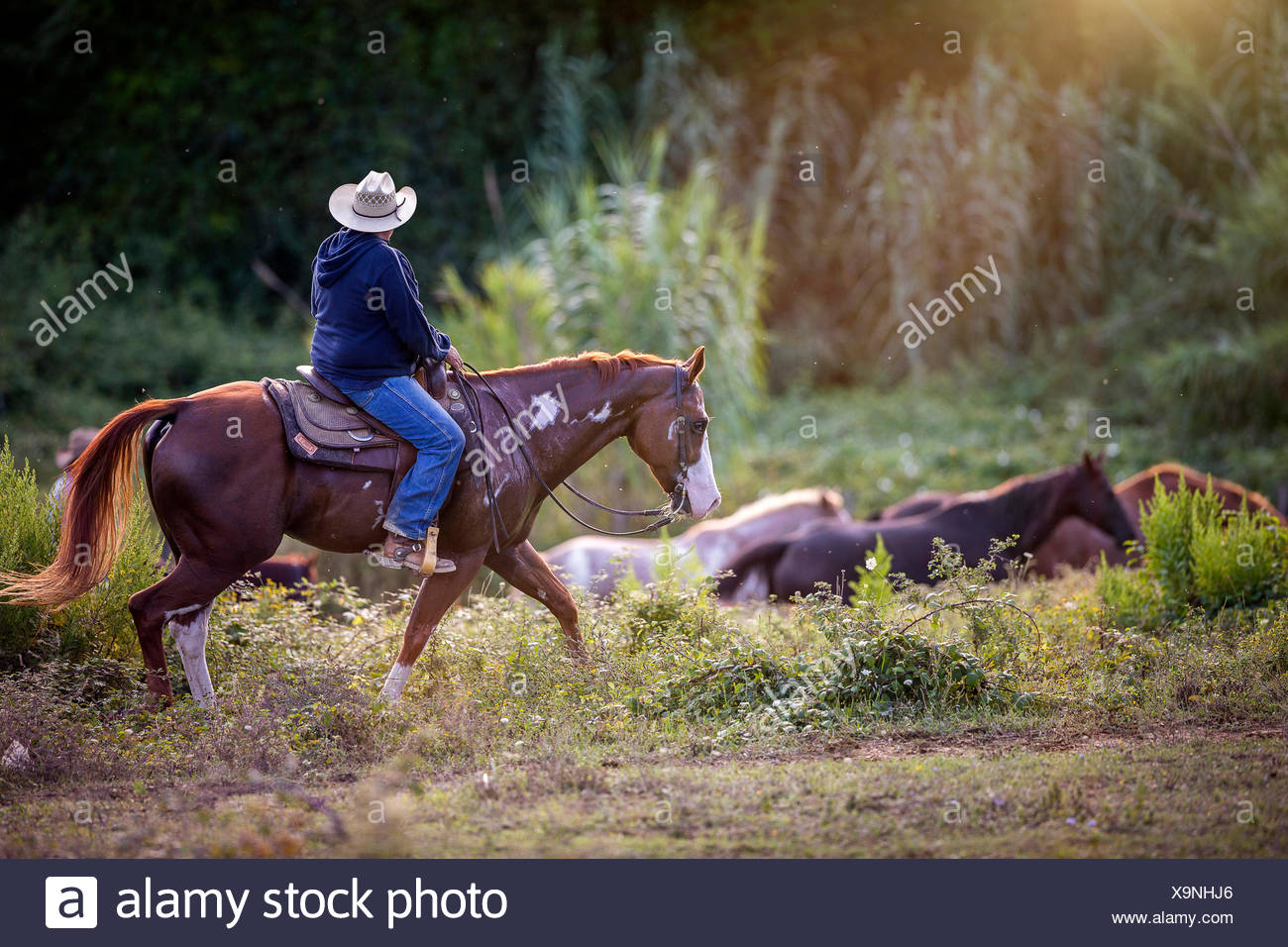 American Paint Horse Cowboy driving horses Italy Stock Photo