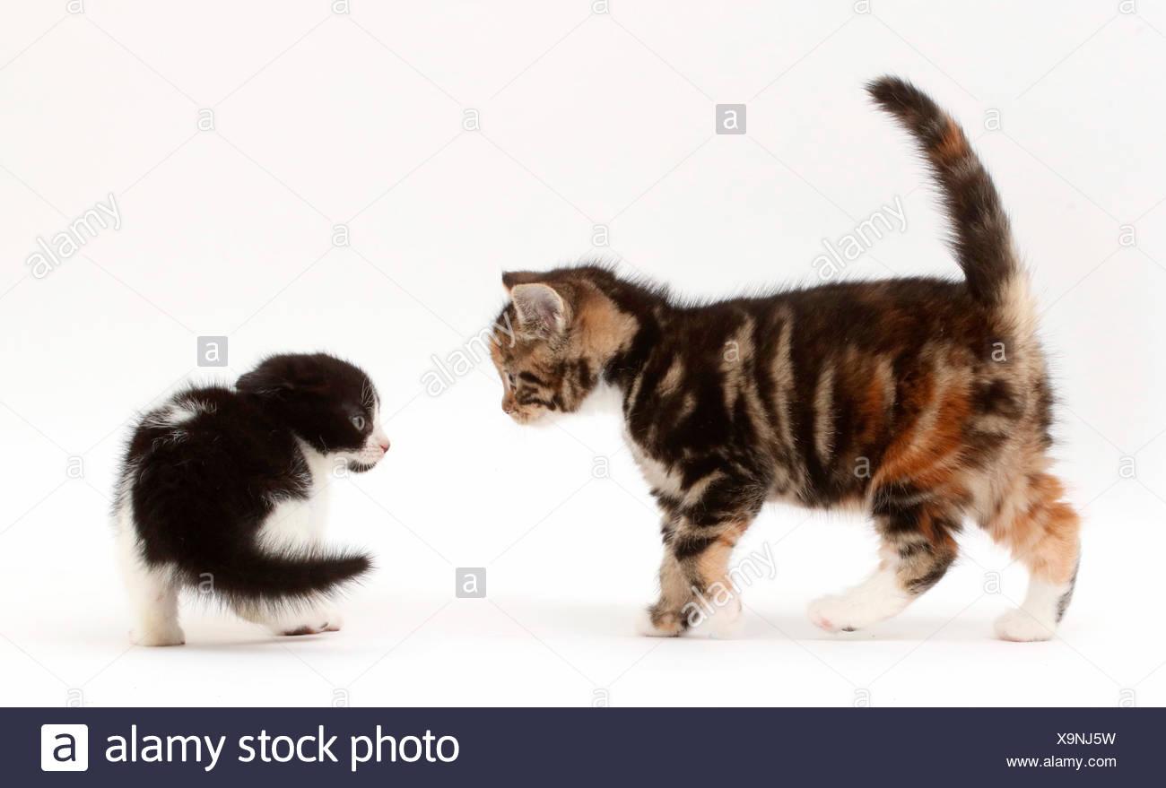 Black-and-white kitten frightened by tabby kitten. - Stock Image