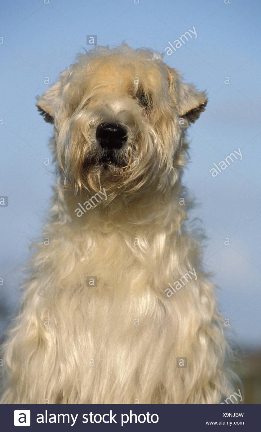 Wheaten Terrier Stock Photos Amp Wheaten Terrier Stock