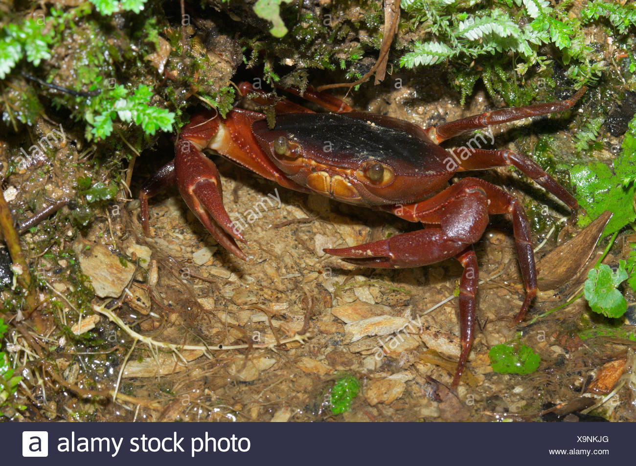 Red land crab (Geocarcinus lateralis) showing claws. - Stock Image