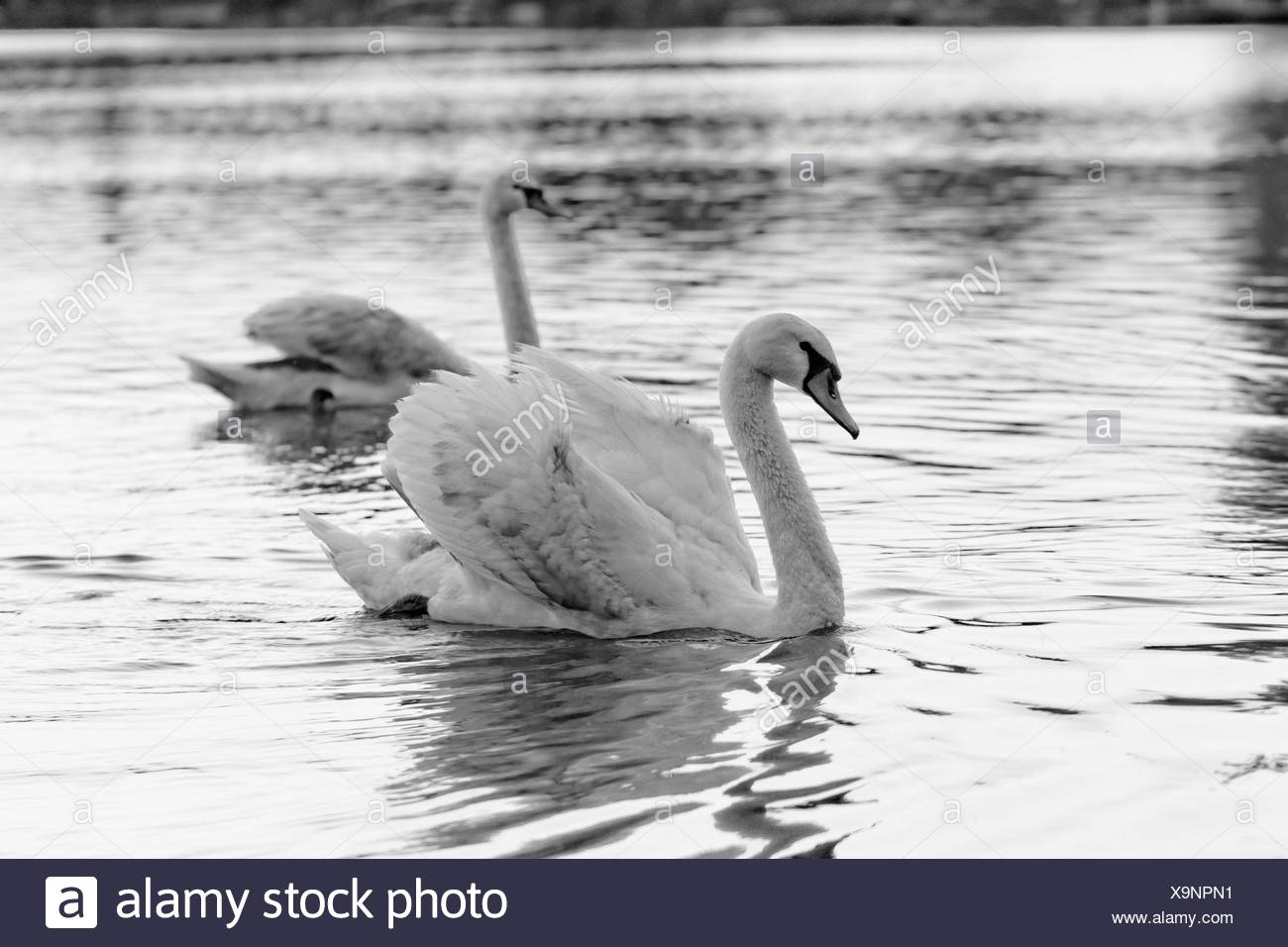 Swan in the beautiful sunset over the lake - Stock Image