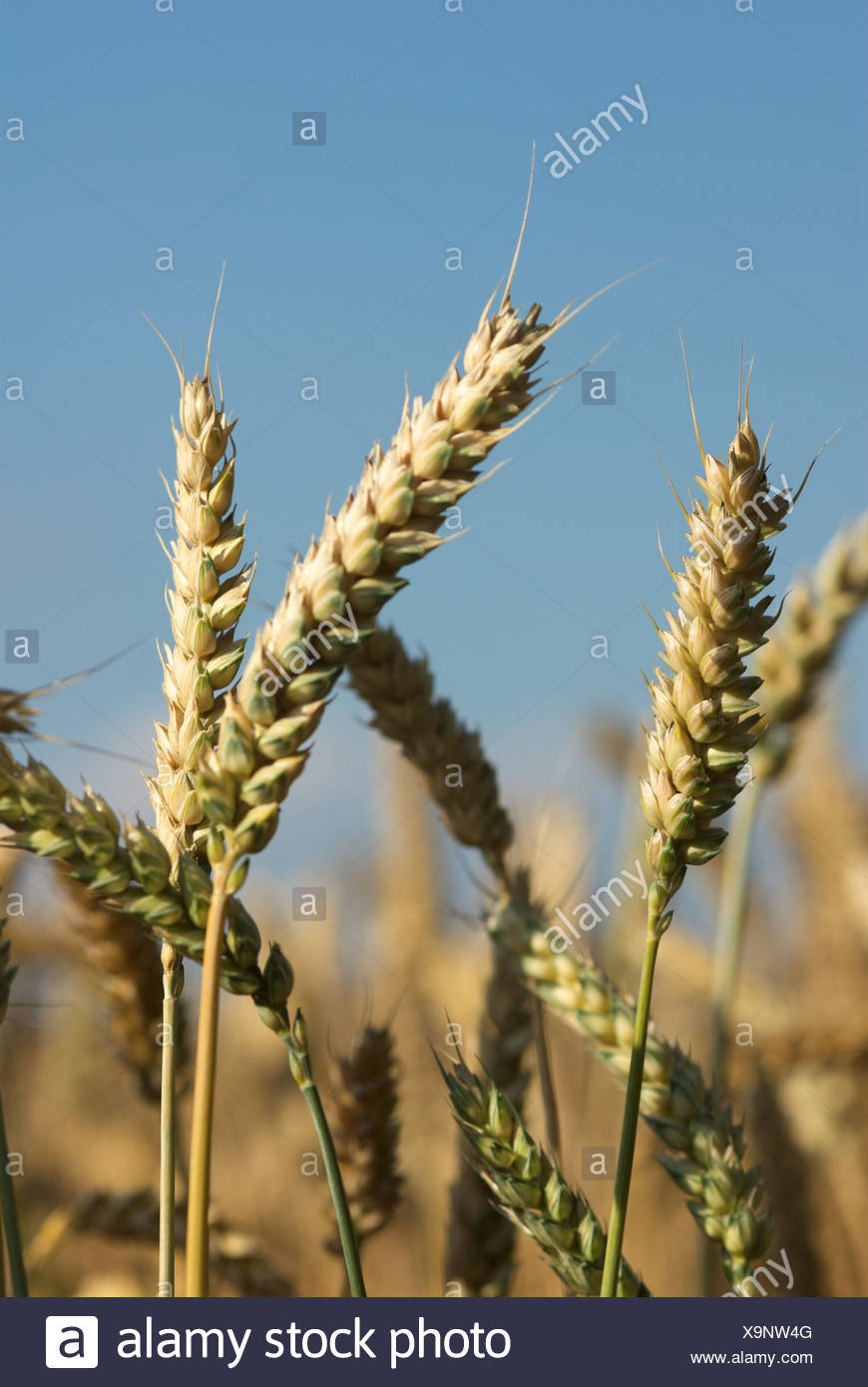 Corn ears - Stock Image