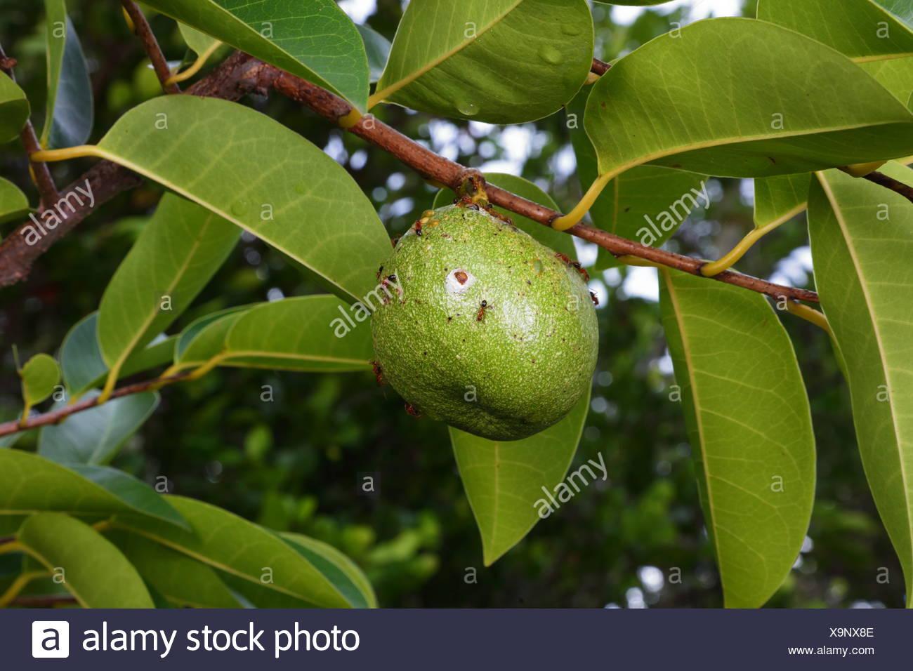 A pond apple or alligator apple, Annona glabra. - Stock Image