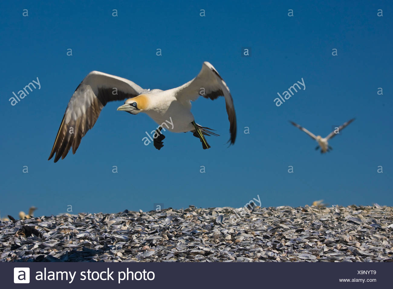 Flying Cape Gannet, Bird Island, South Africa - Stock Image
