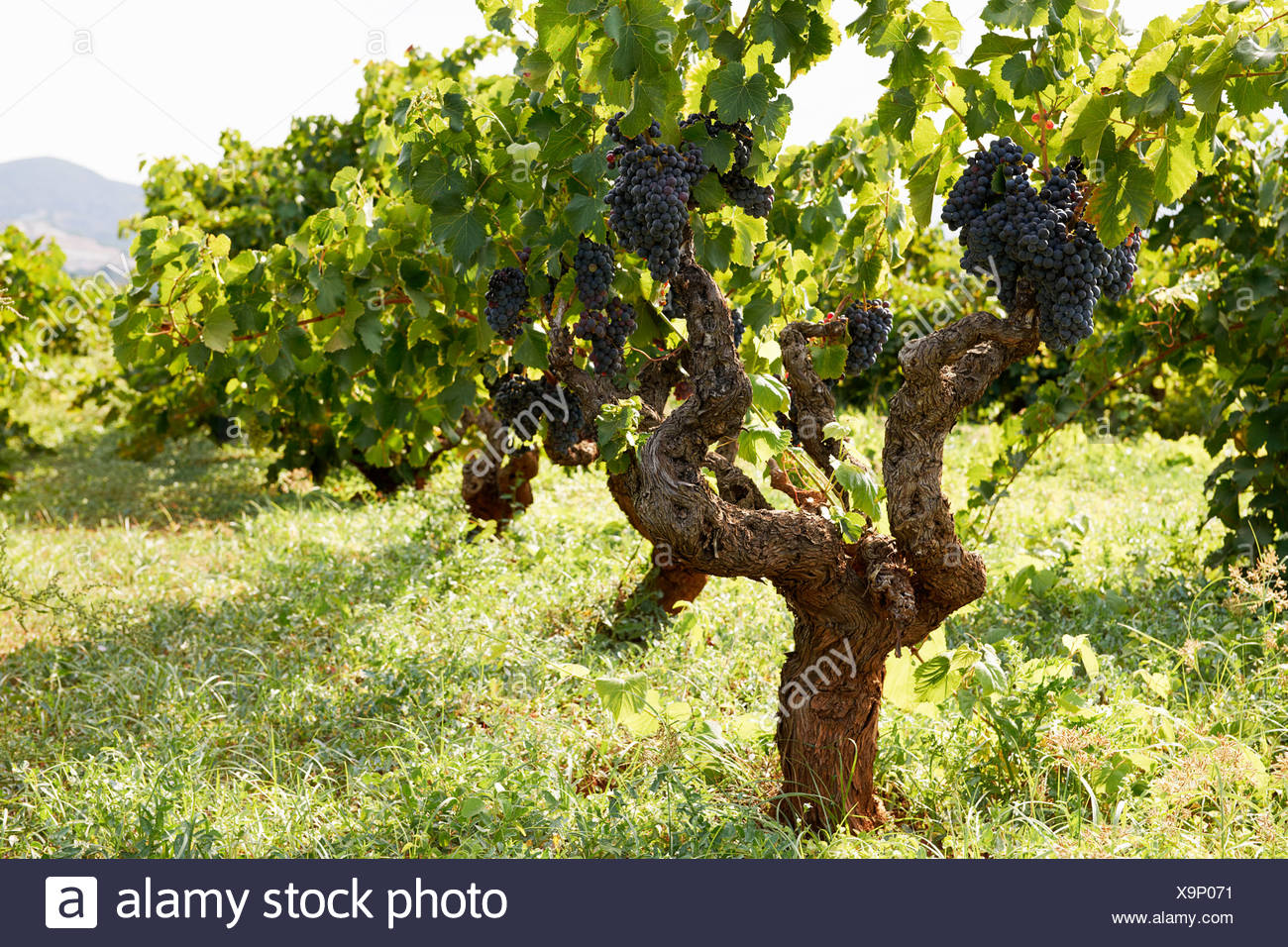 Grapes on a vine in a vineyard Stock Photo