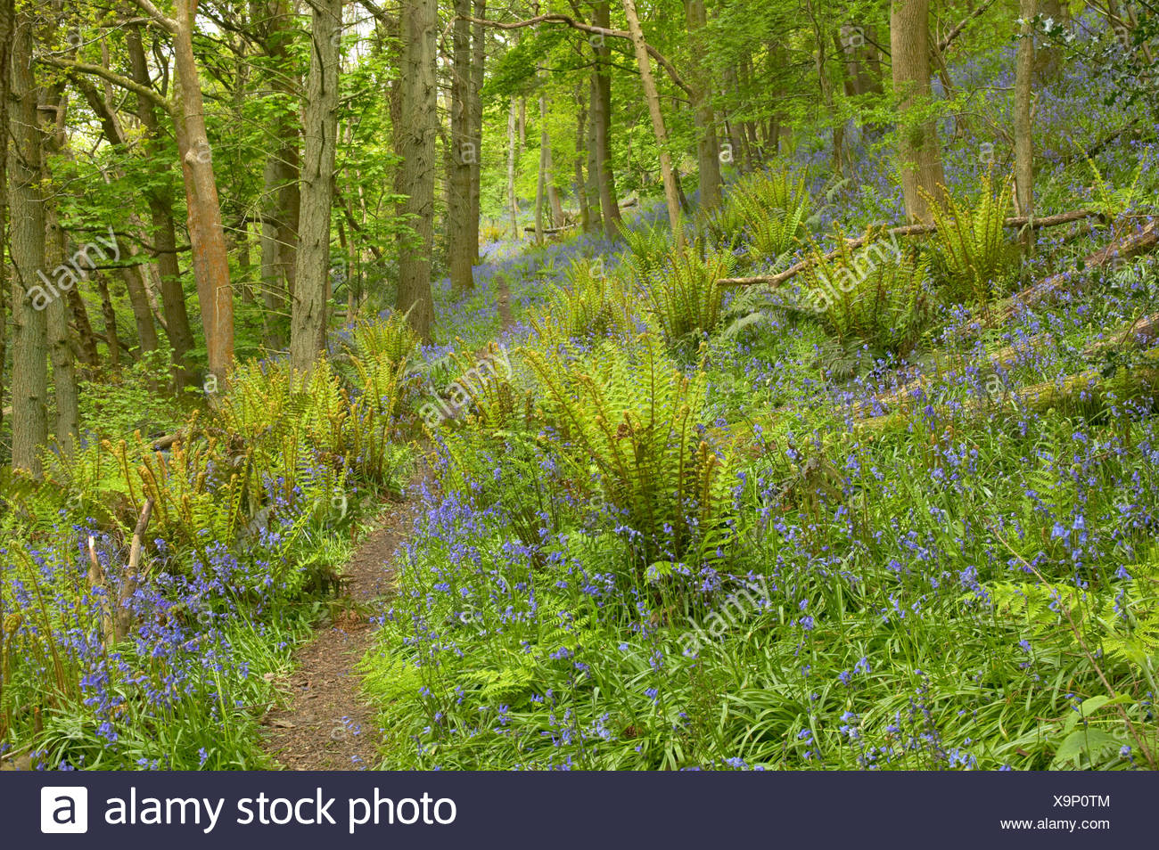 path through ancient oak woodland with king fern Aughton Wood Lancashire with Bluebells - Stock Image