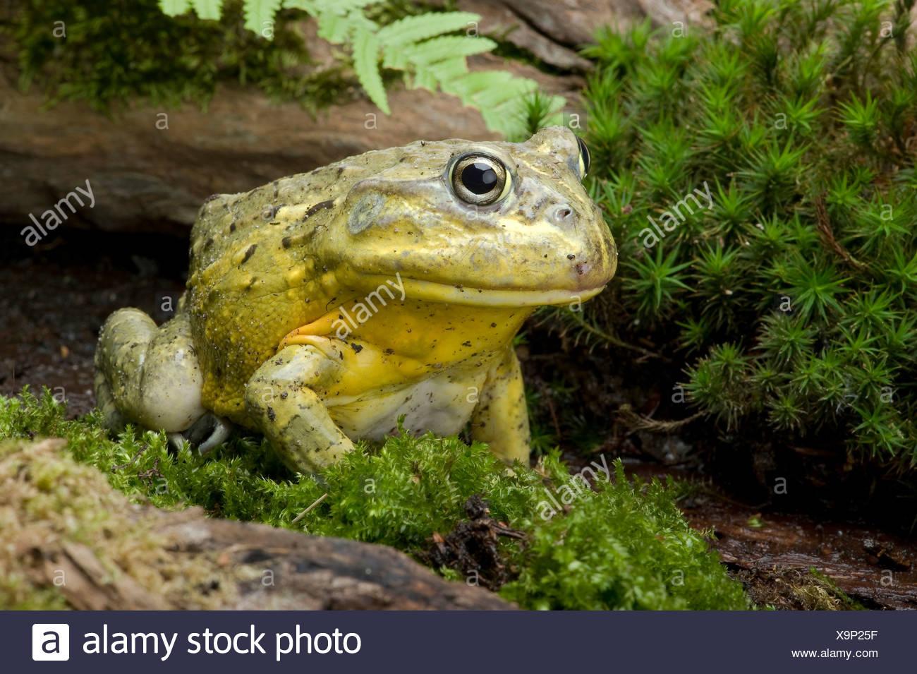 Tschudi's African bullfrog, Gaint bull frog, African Bullfrog (Pyxicephalus adspersus, Afrikanischer Grabfrosch), on moss - Stock Image