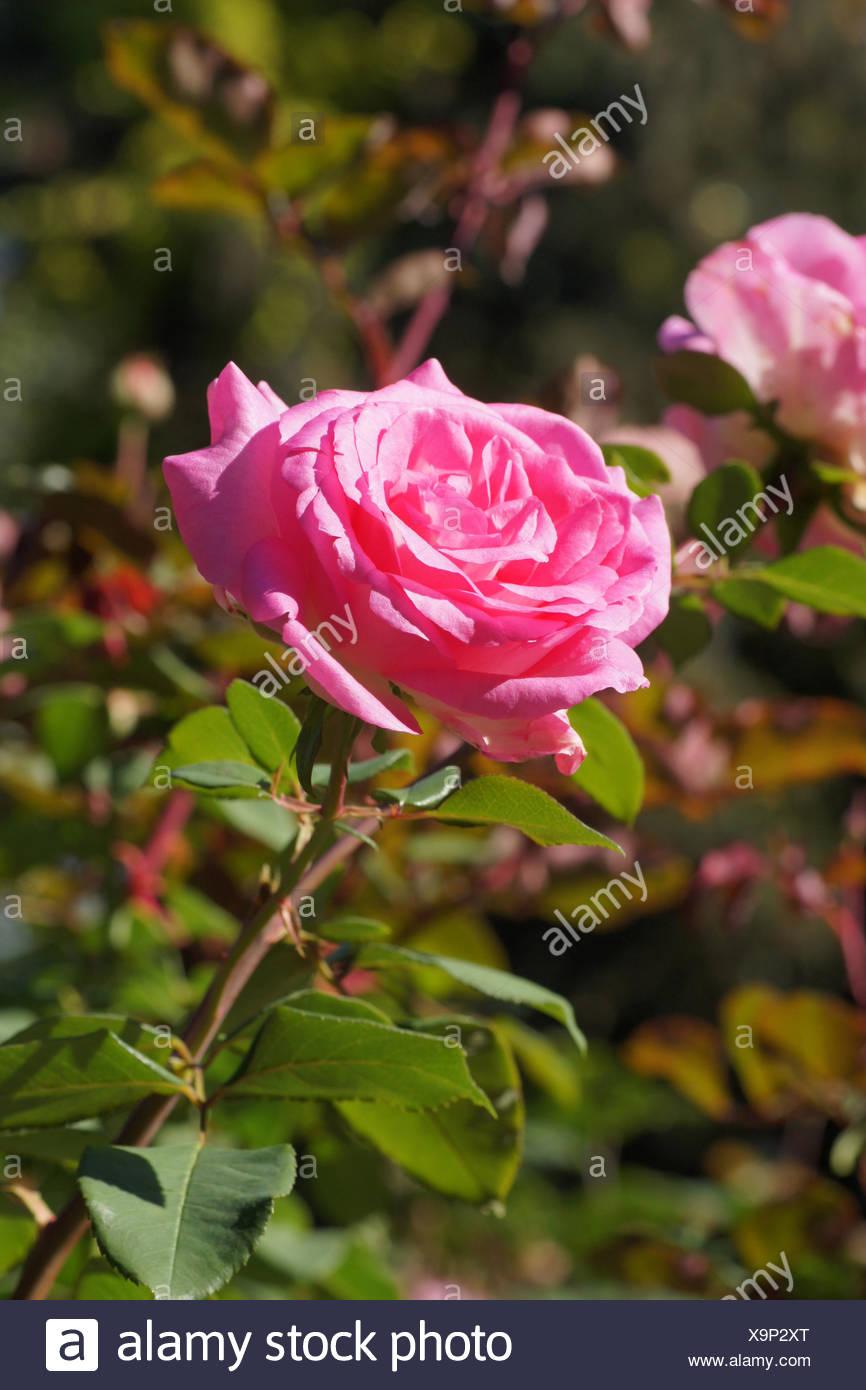 Rosa Beverly, Hybrid-rose - Stock Image