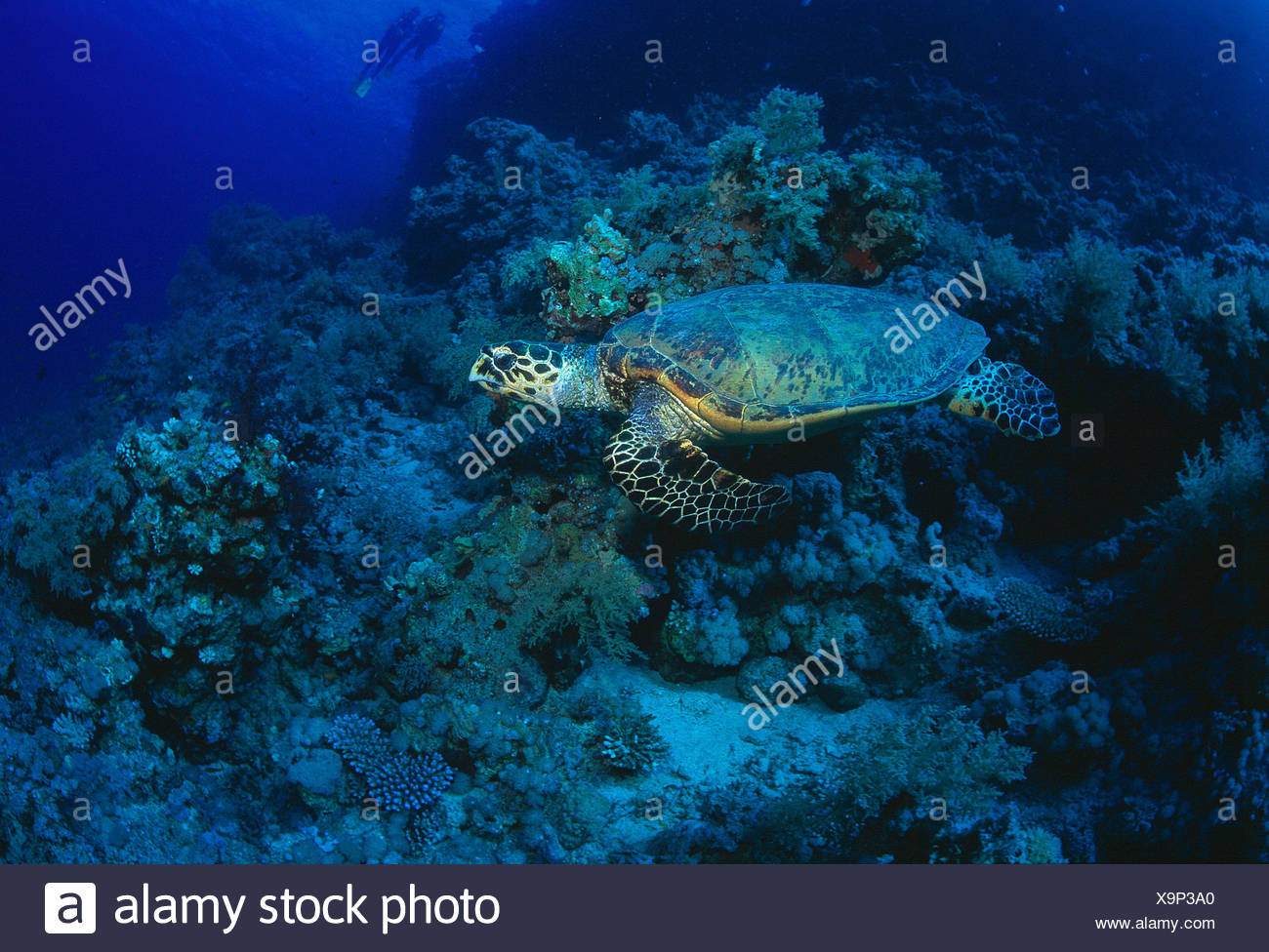 Egypt. Red Sea. Wildlife. Hawksbill Turtle underwater, swimming over coral reef. - Stock Image