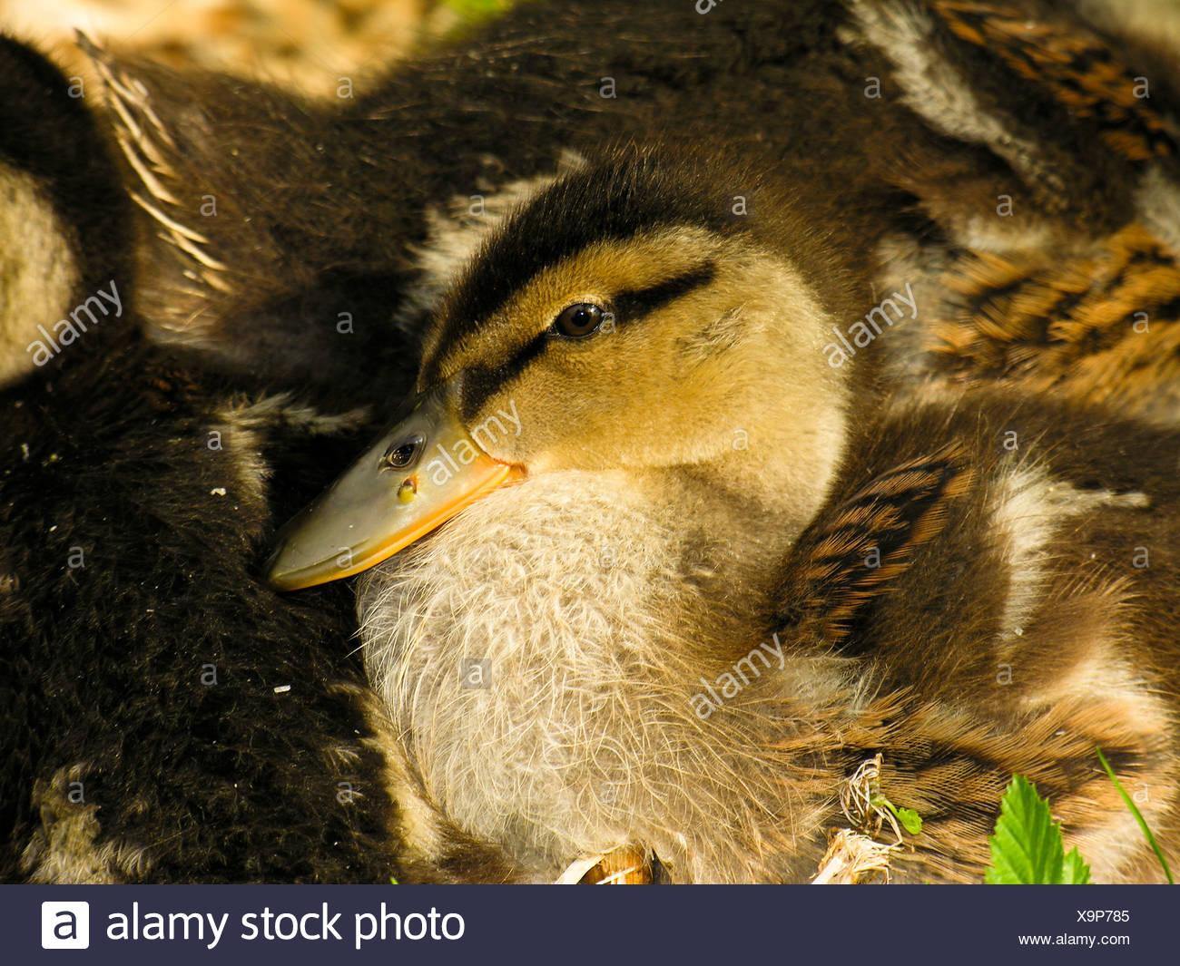 Mallard ducklings, Hever Castle, UK Stock Photo