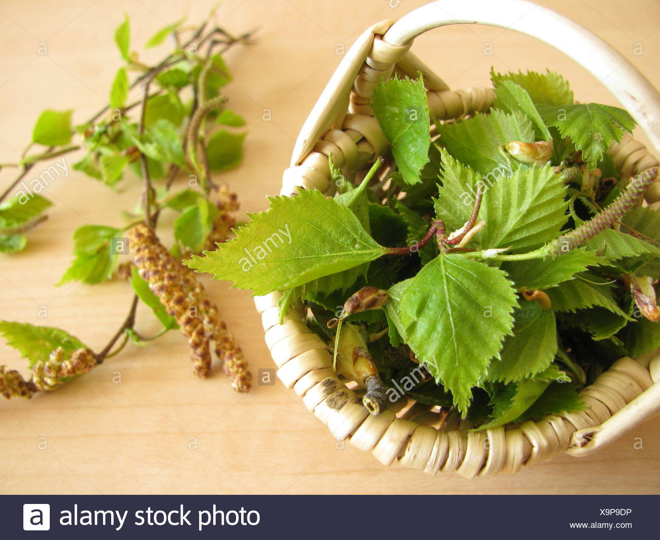 birch birch leaves tealeaves - Stock Image