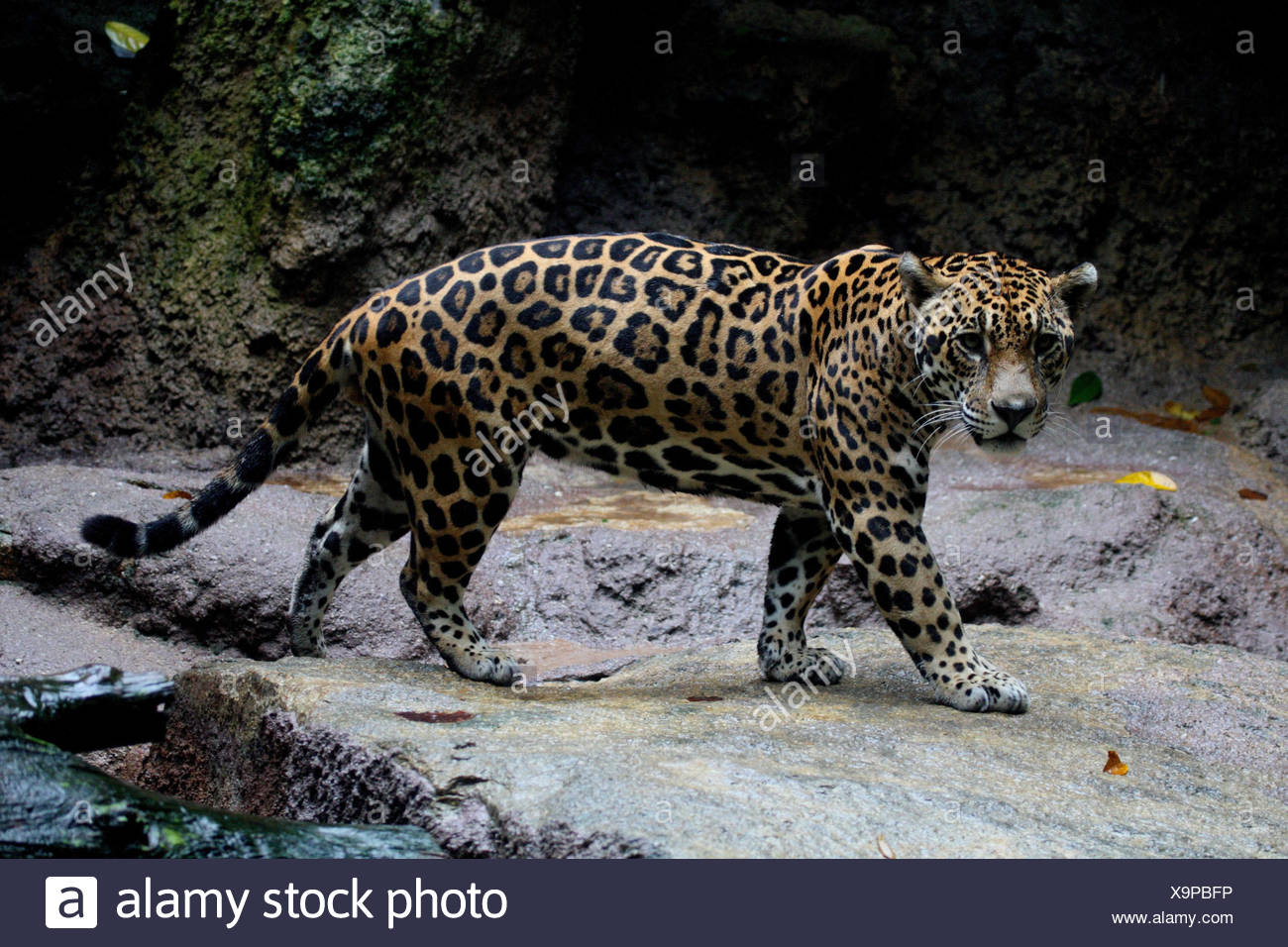 Jaguar, rock, - Stock Image
