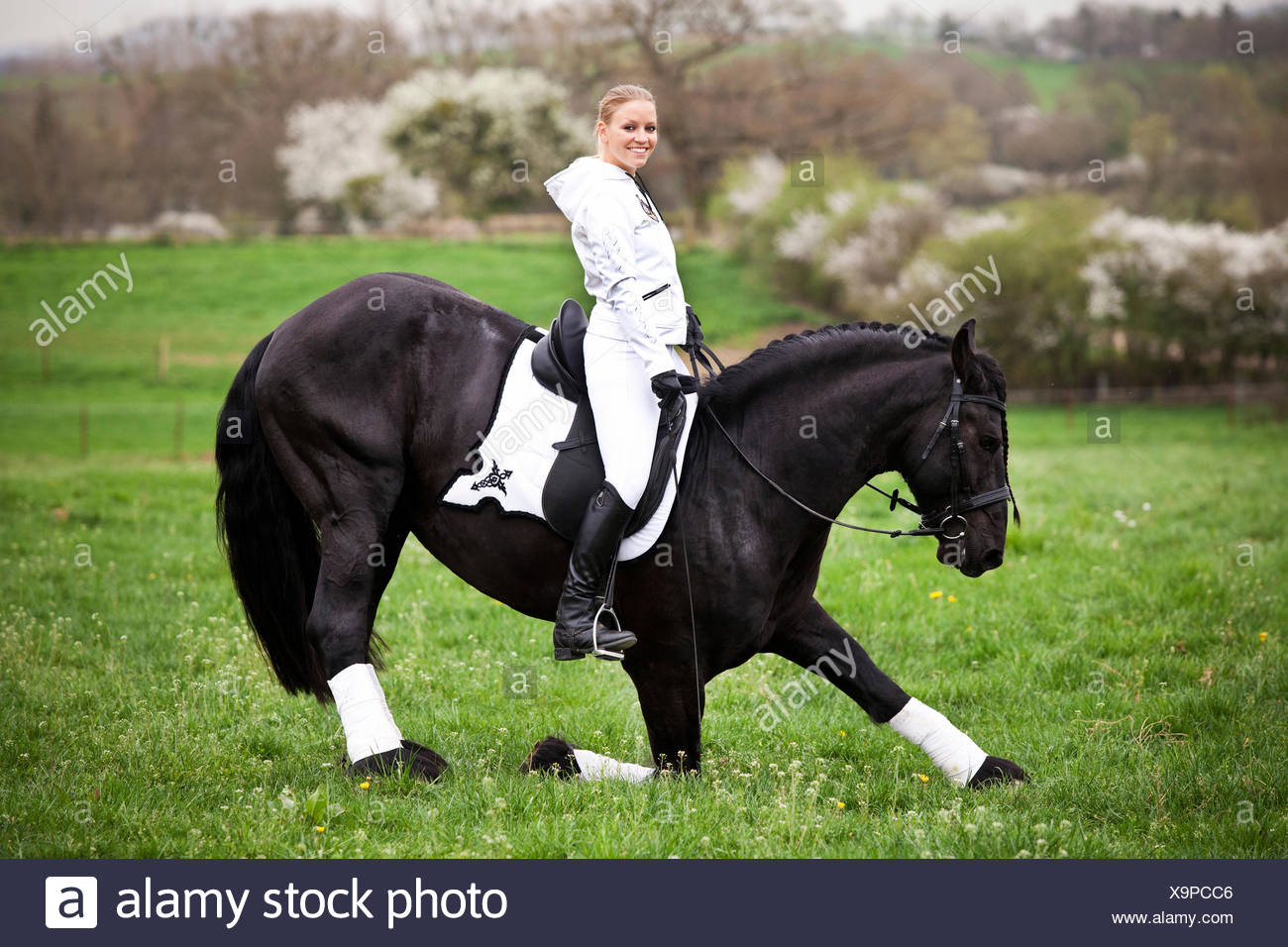 Friesian or Frisian horse, stallion, with a female rider on horseback, on a meadow, classical dressage Stock Photo