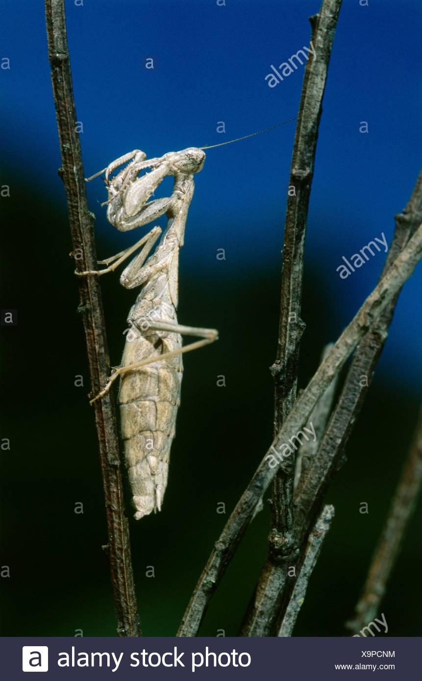 zoology / animals, insect, Mantidae, European mantis (Mantis religiosa), sitting, limb, distribution: Southern Europe, Neoptera, - Stock Image
