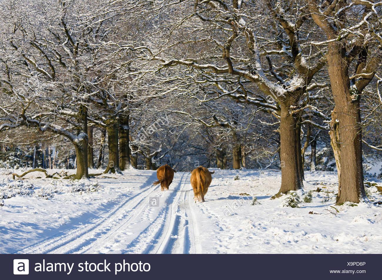 Schotse hooglanders lopen over besneeuwd bospad, highland cattle walking on snowy trail Stock Photo
