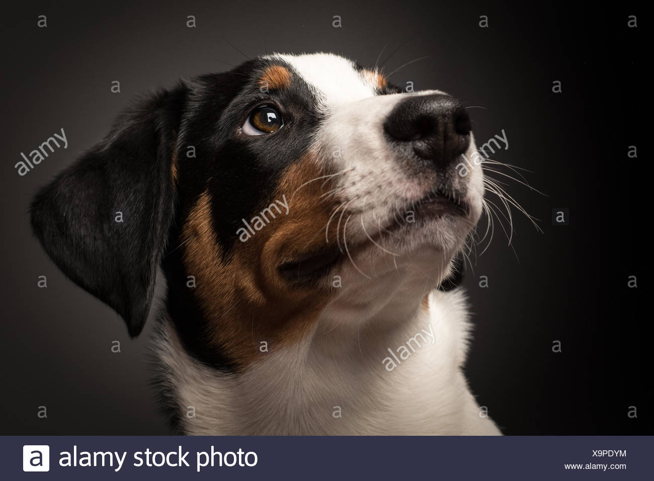 appenzeller in portrait on black - Stock Image