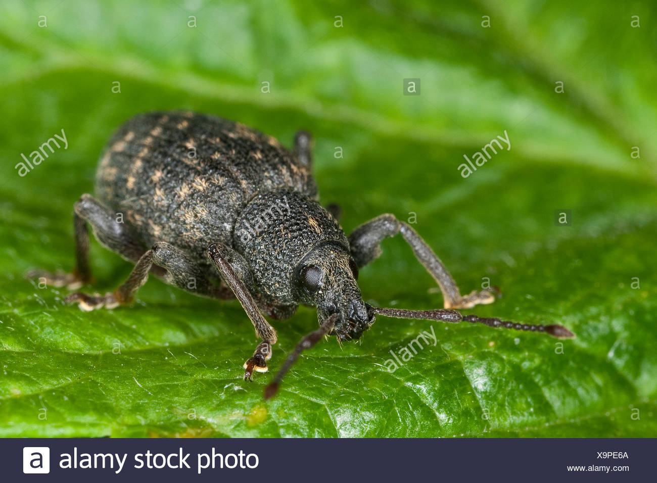 Cine weevil, Black vine weevil, European vine weevil (Otiorhynchus sulcatus, Brachyrhinus sulcatus), sitting on a leaf, Germany - Stock Image