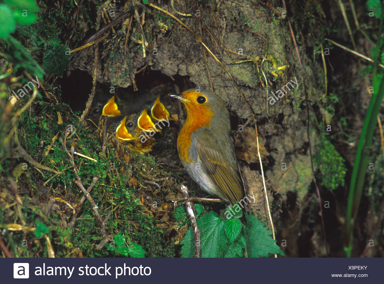 Robin Robins (Erithacus rubecula) nest with fledglings Stock Photo