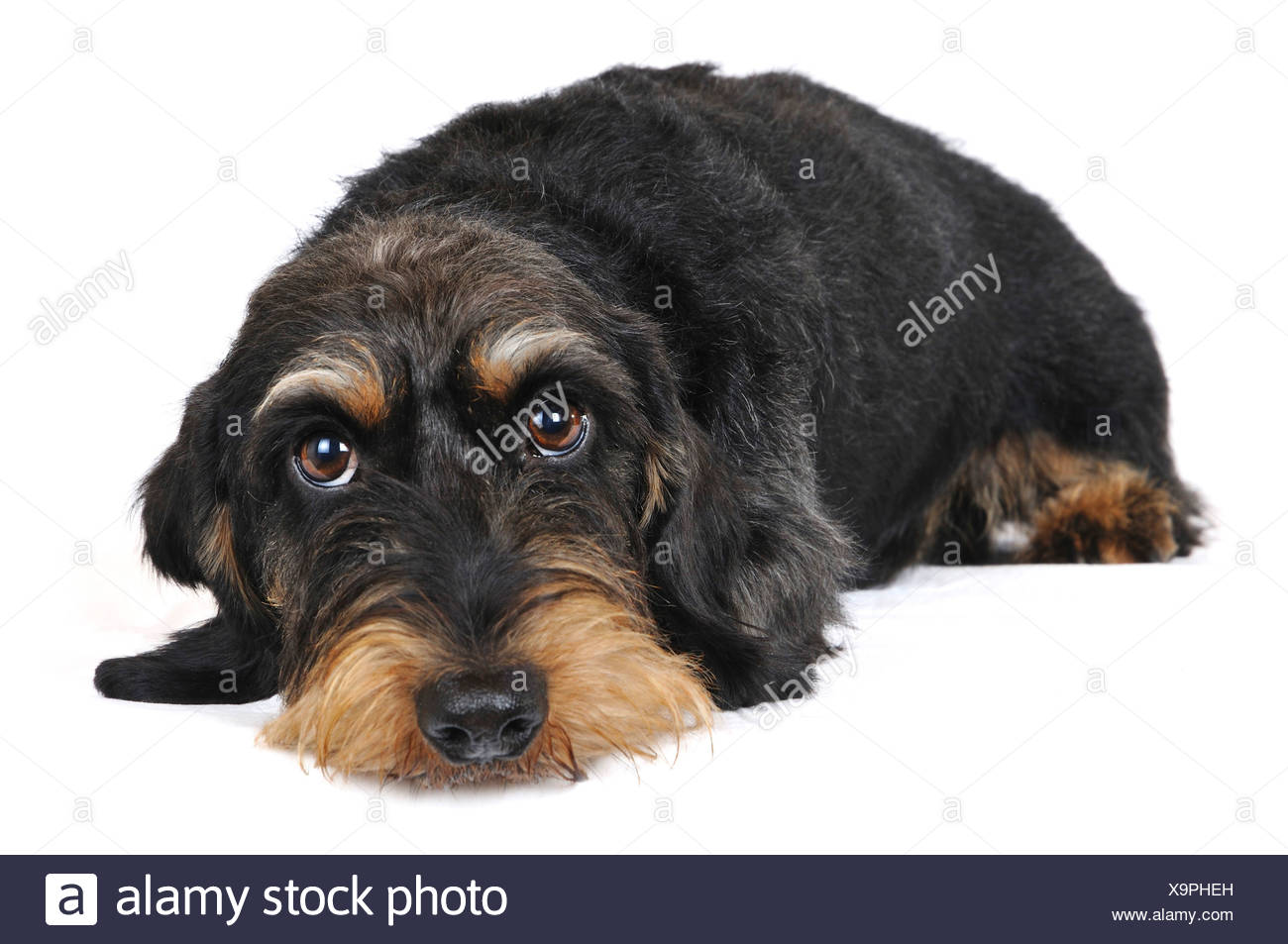 Wire-haired Dachshund, Wire-haired sausage dog, domestic dog (Canis lupus f. familiaris), lying, Germany, Nordrhein Westfalen - Stock Image
